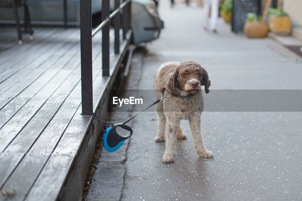domestic, one animal, pets, mammal, domestic animals, animal themes, canine, dog, animal, vertebrate, footpath, focus on foreground, no people, leash, day, looking at camera, standing, pet leash, portrait, full length
