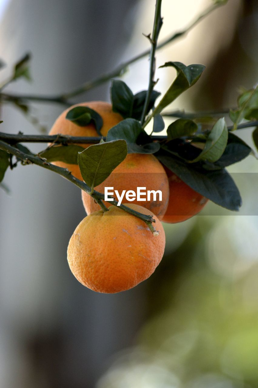 fruit, healthy eating, food, food and drink, plant part, orange color, plant, leaf, growth, citrus fruit, close-up, orange, freshness, focus on foreground, orange - fruit, nature, no people, tree, wellbeing, fruit tree, outdoors, ripe