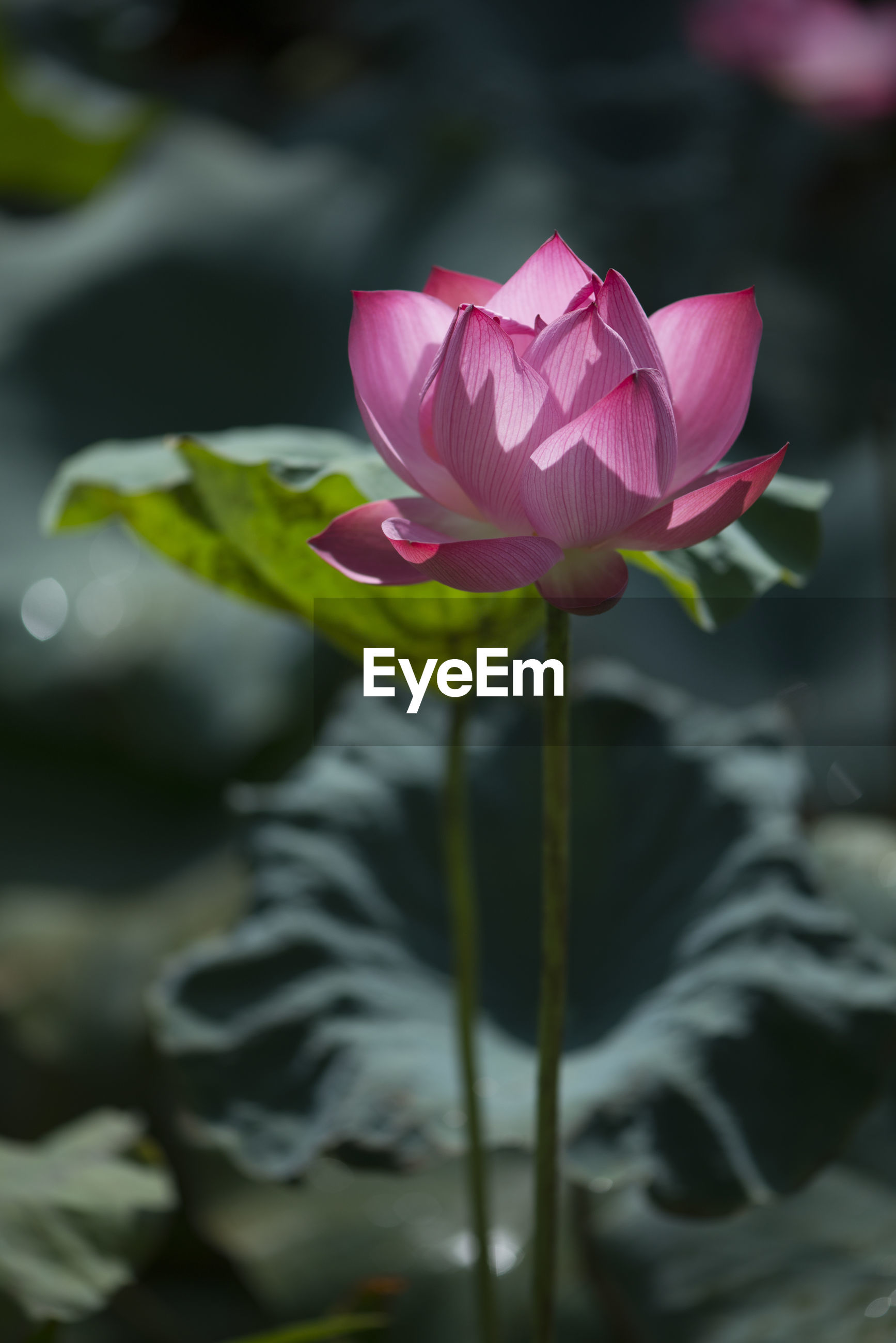 CLOSE-UP OF PINK LOTUS WATER LILY IN GARDEN