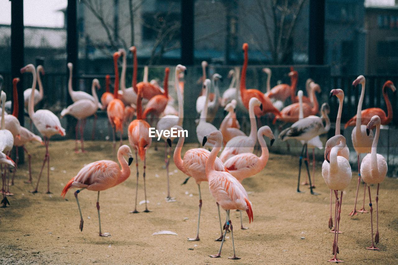 Flamingos On Field In Zoo