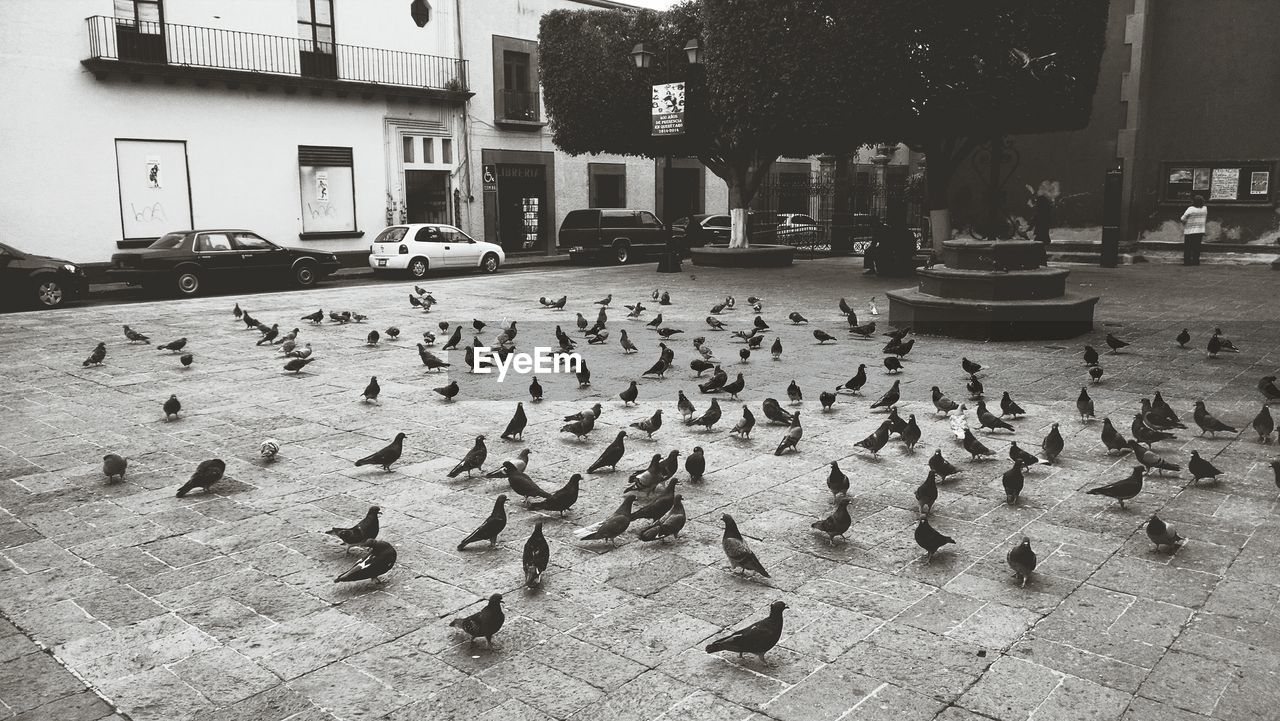 Flock Of Pigeons Feeding On Street