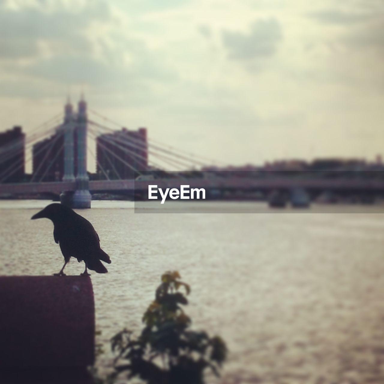 Close-up of crow with suspension bridge in background
