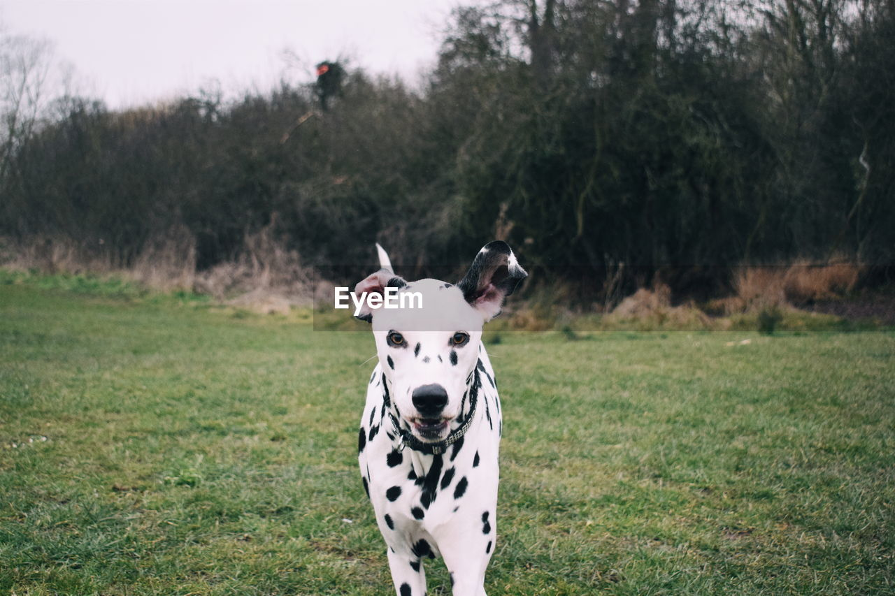Portrait Of Dalmatian Dog Standing On Field