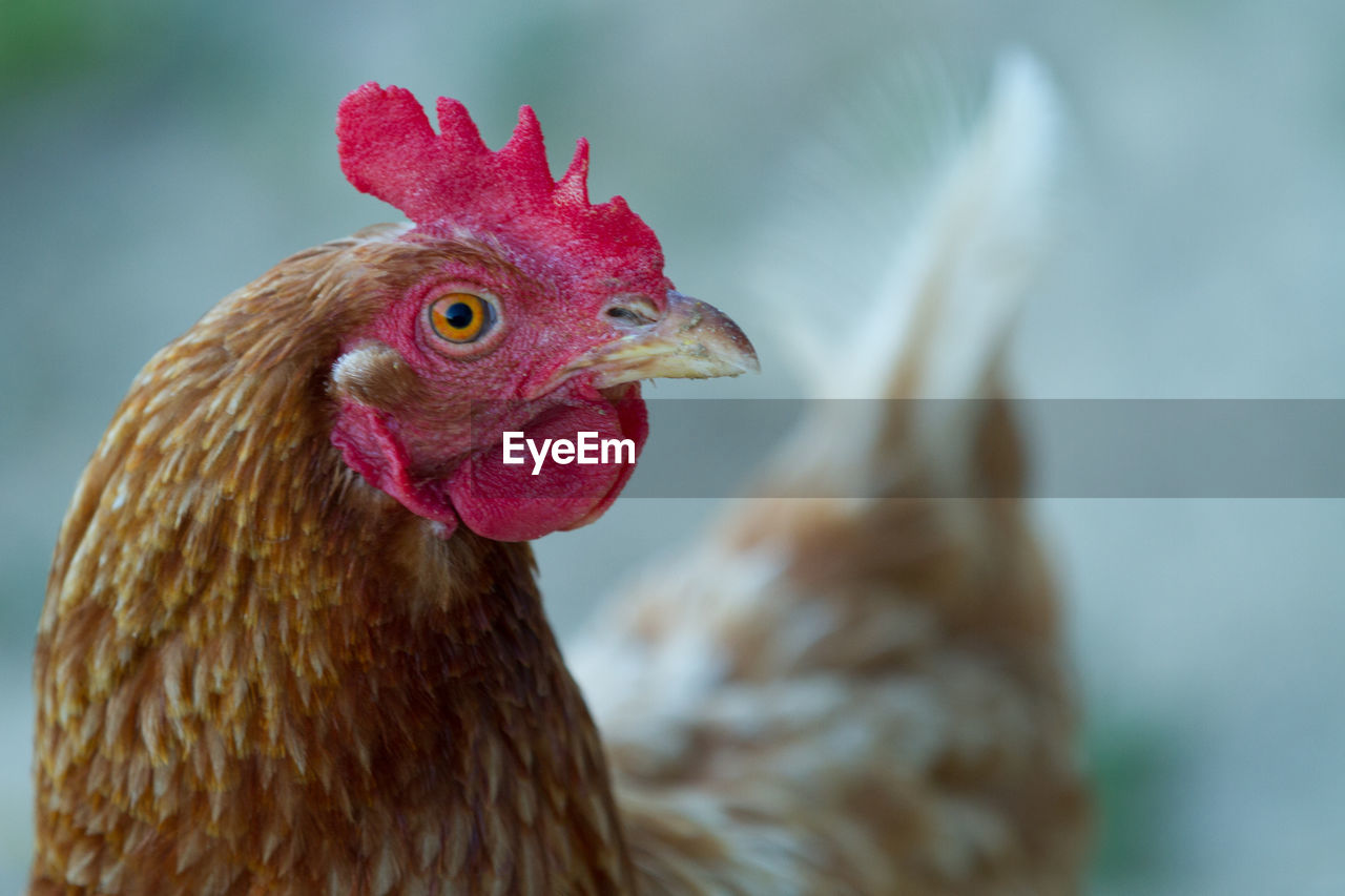 Close-Up Of Chicken