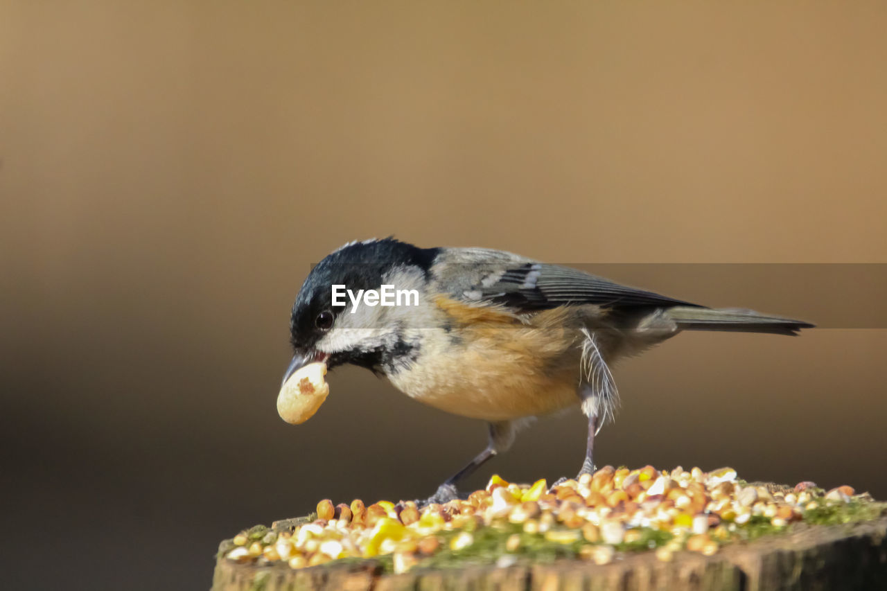 bird, animal themes, animal, one animal, animal wildlife, vertebrate, animals in the wild, food, no people, eating, close-up, perching, copy space, focus on foreground, food and drink, nature, day, selective focus, feeding, outdoors, mouth open