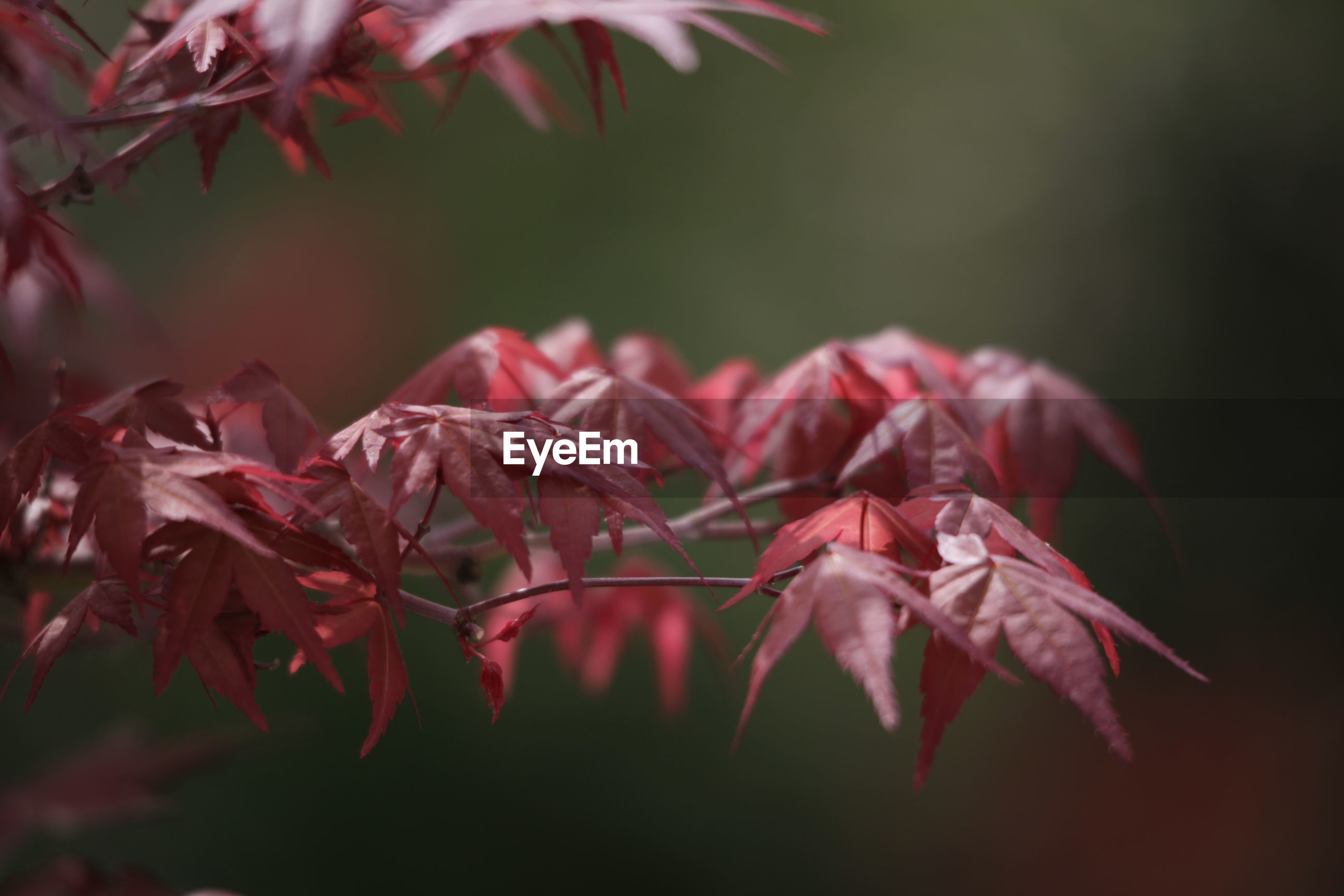 Close-up of red flowering plant against blurred background