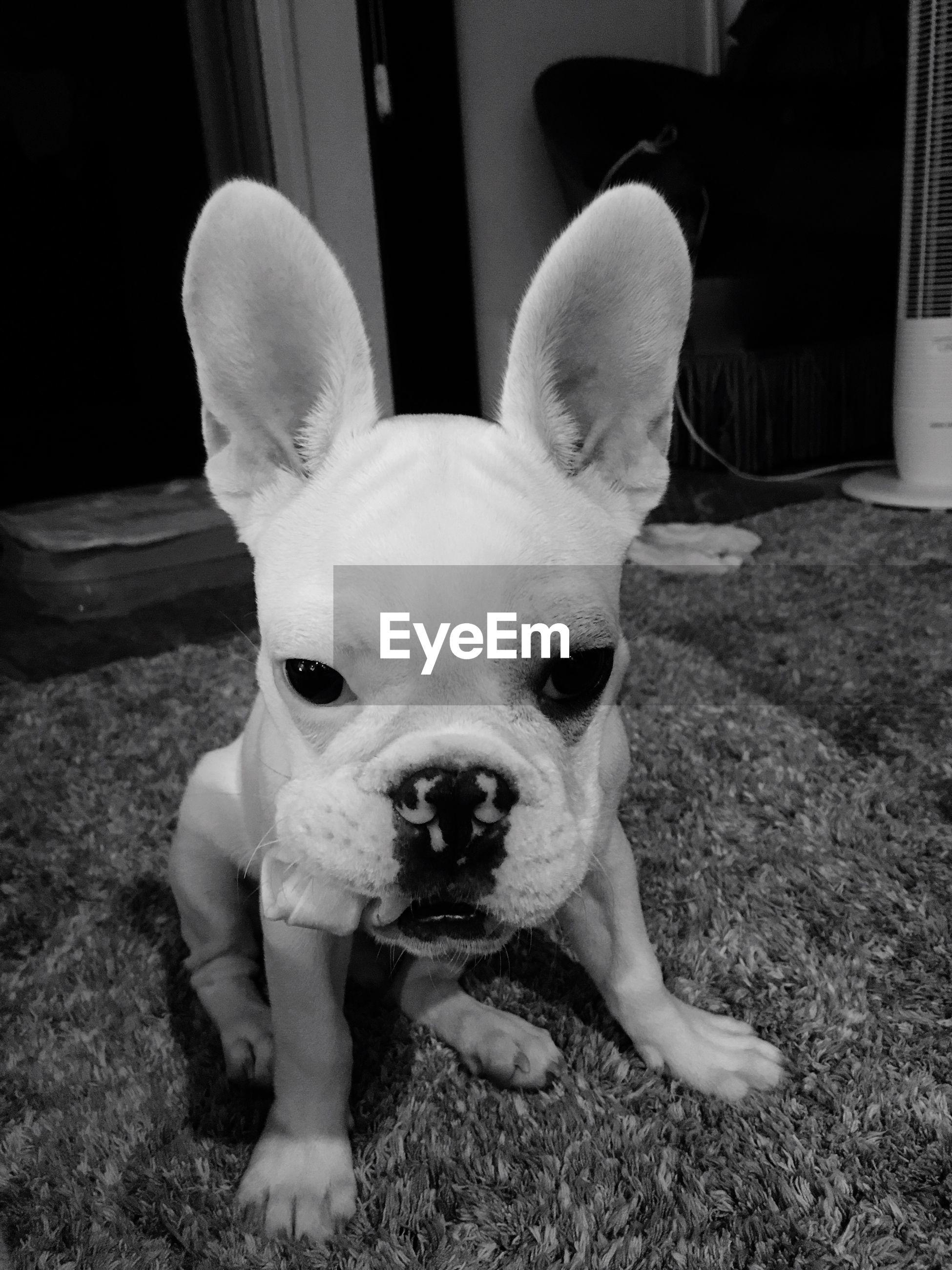 pets, dog, domestic animals, looking at camera, animal themes, one animal, portrait, mammal, no people, french bulldog, close-up, indoors, day
