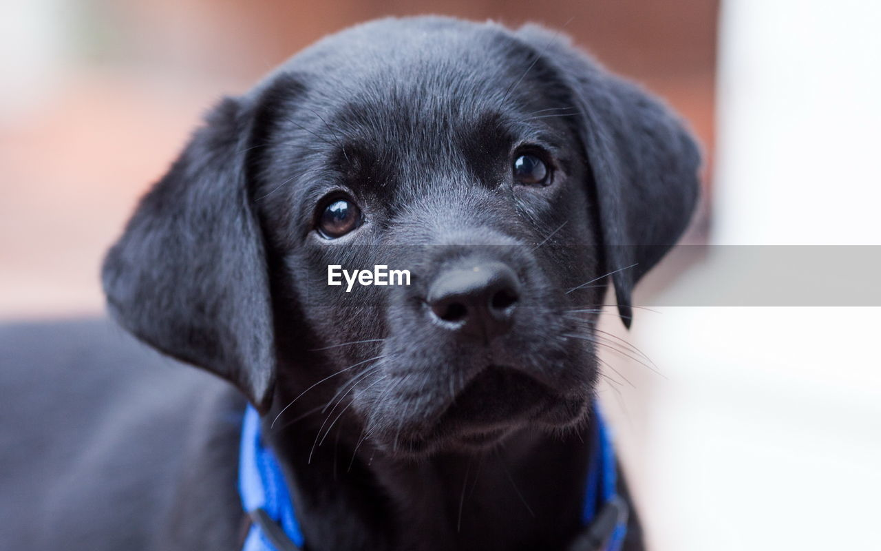 dog, pets, canine, one animal, mammal, domestic, animal themes, animal, domestic animals, portrait, black color, vertebrate, looking at camera, close-up, focus on foreground, animal head, indoors, animal body part, puppy, young animal, no people, animal eye, snout