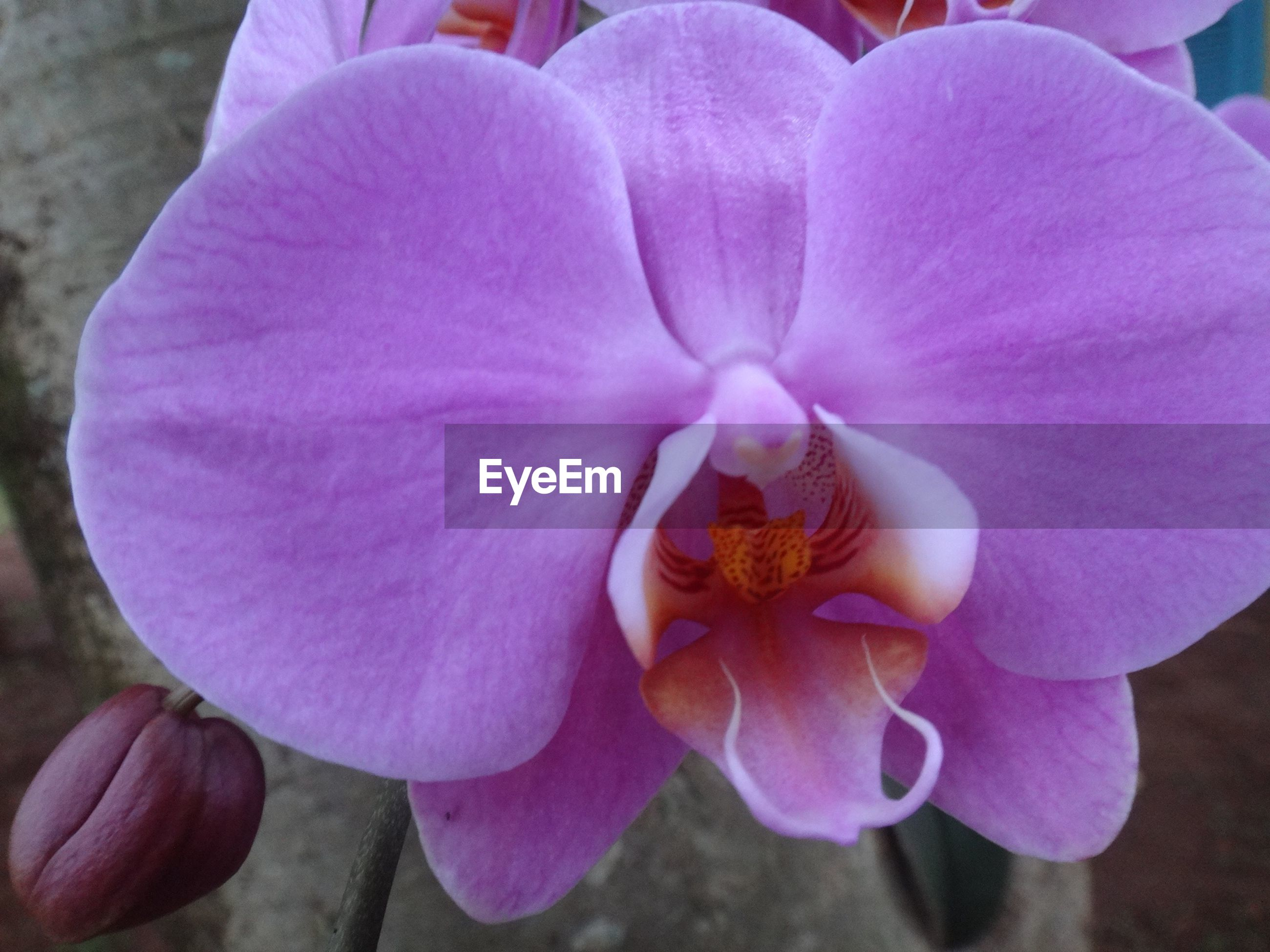 Macro shot of fresh purple orchid