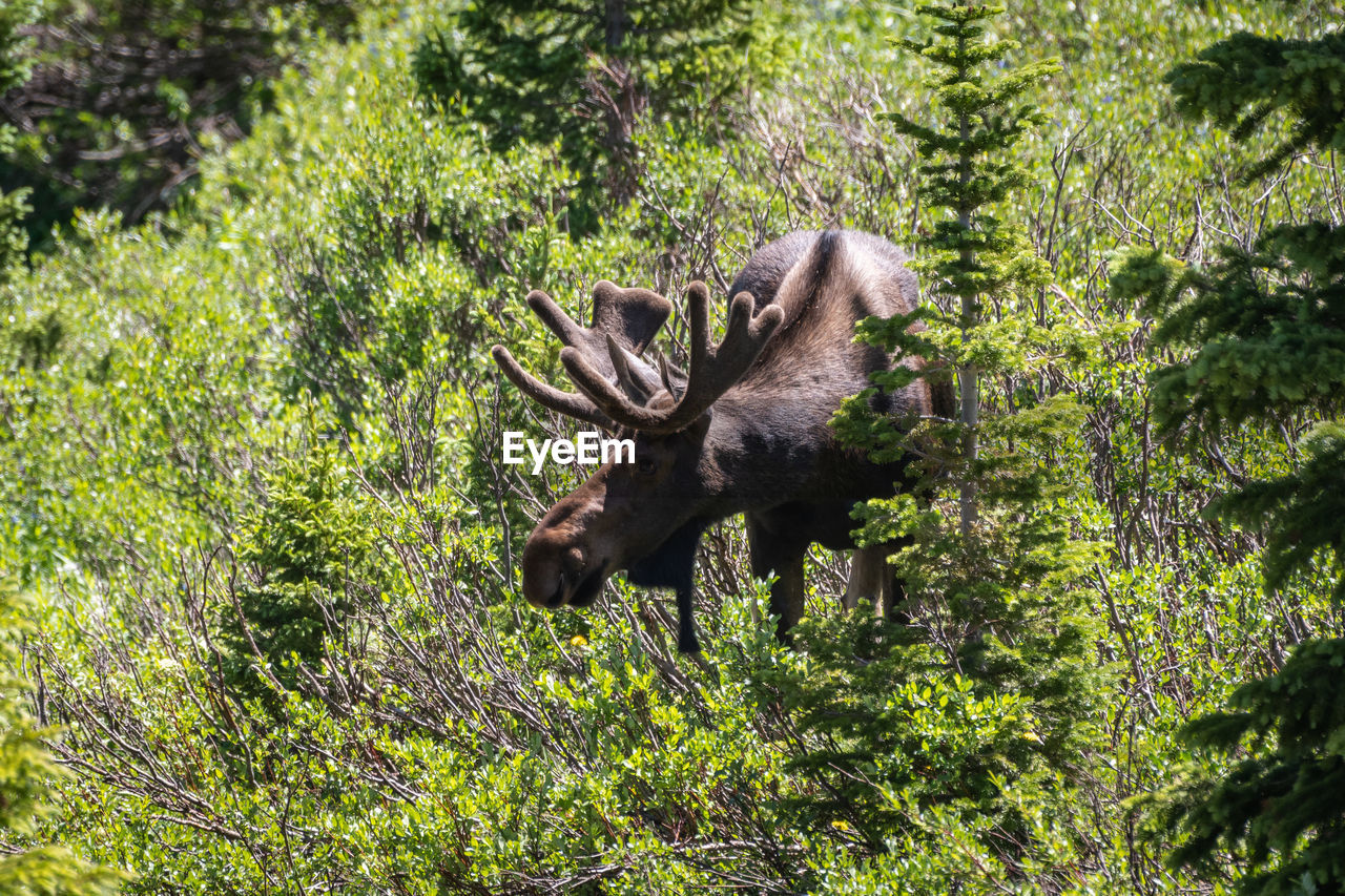 one animal, animal, animal themes, animal wildlife, mammal, animals in the wild, plant, tree, forest, land, moose, vertebrate, nature, no people, day, antler, green color, domestic animals, field, male animal, herbivorous, outdoors