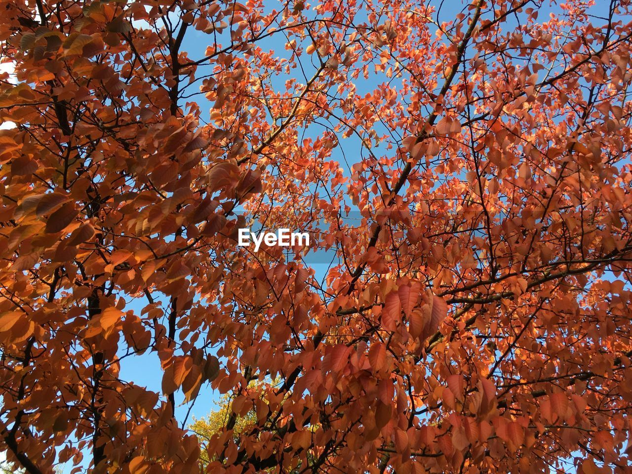 LOW ANGLE VIEW OF MAPLE TREE DURING AUTUMN