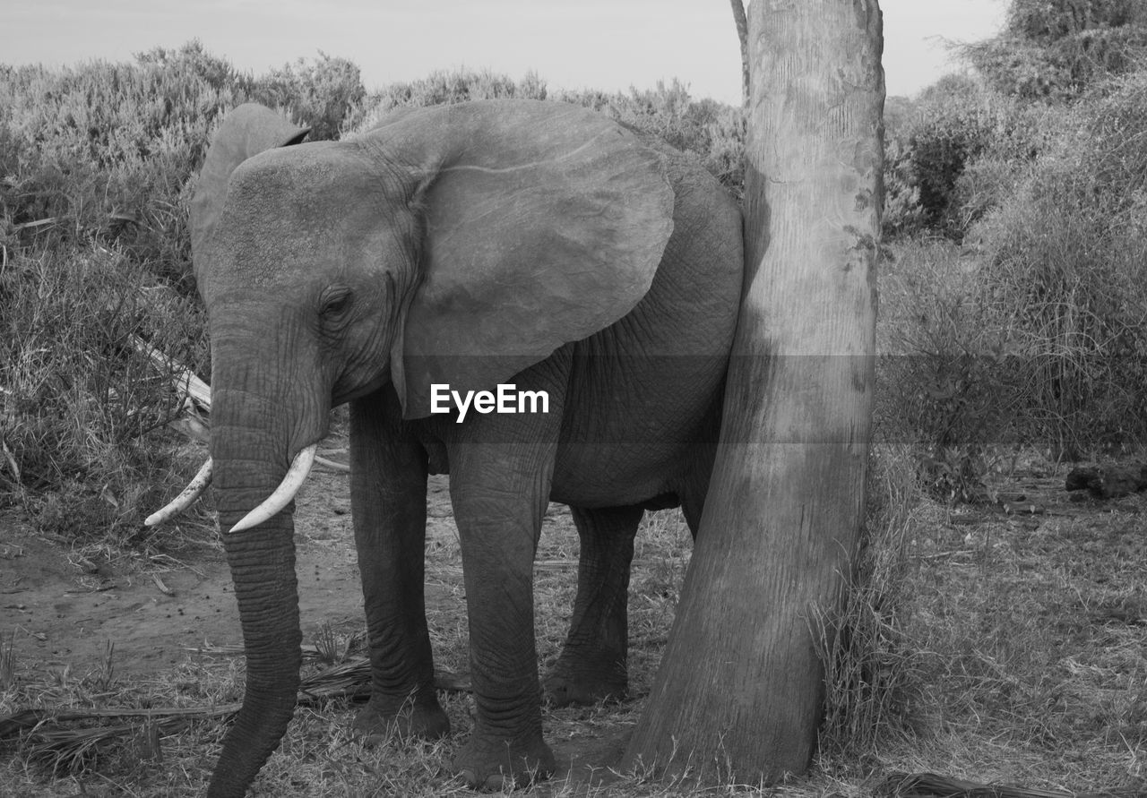 elephant, mammal, animal themes, animal, tree, plant, one animal, animal wildlife, field, trunk, land, day, vertebrate, animals in the wild, animal trunk, nature, no people, standing, side view, outdoors, herbivorous, tusk, african elephant, animal family
