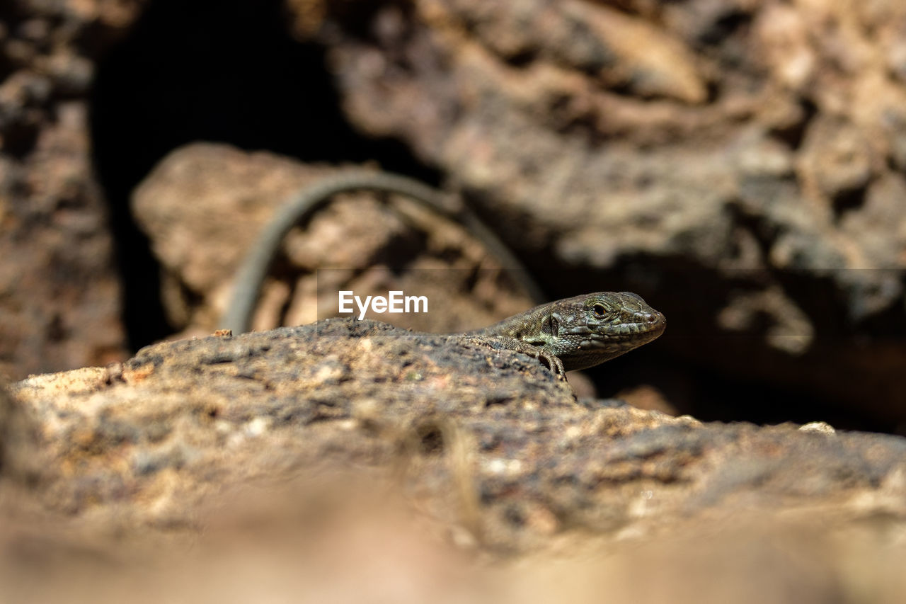 one animal, reptile, animal themes, animal, animals in the wild, animal wildlife, selective focus, rock - object, rock, solid, lizard, vertebrate, close-up, no people, nature, day, animal body part, snake, animal head, warning sign, animal scale, animal eye