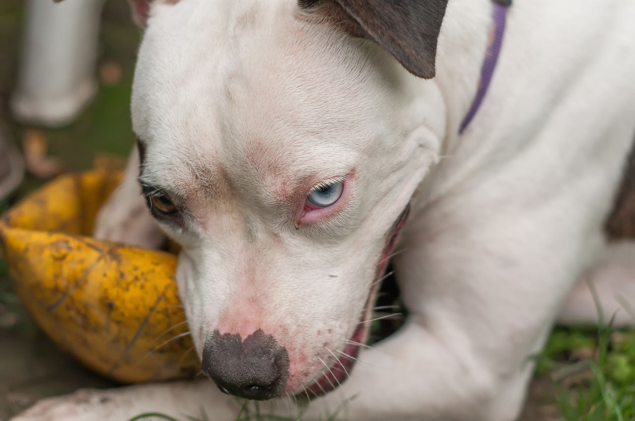 domestic animals, animal themes, mammal, one animal, domestic, canine, dog, pets, animal, vertebrate, close-up, no people, animal body part, looking, focus on foreground, day, animal head, looking away, portrait, white color, animal mouth