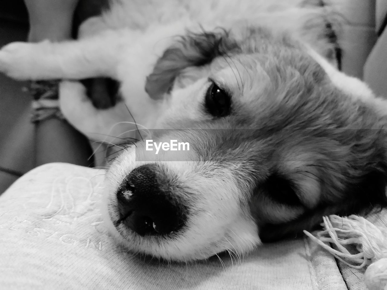 one animal, pets, domestic, animal themes, dog, domestic animals, canine, vertebrate, animal, relaxation, mammal, close-up, indoors, animal body part, looking at camera, focus on foreground, resting, portrait, lying down, furniture, animal head, whisker