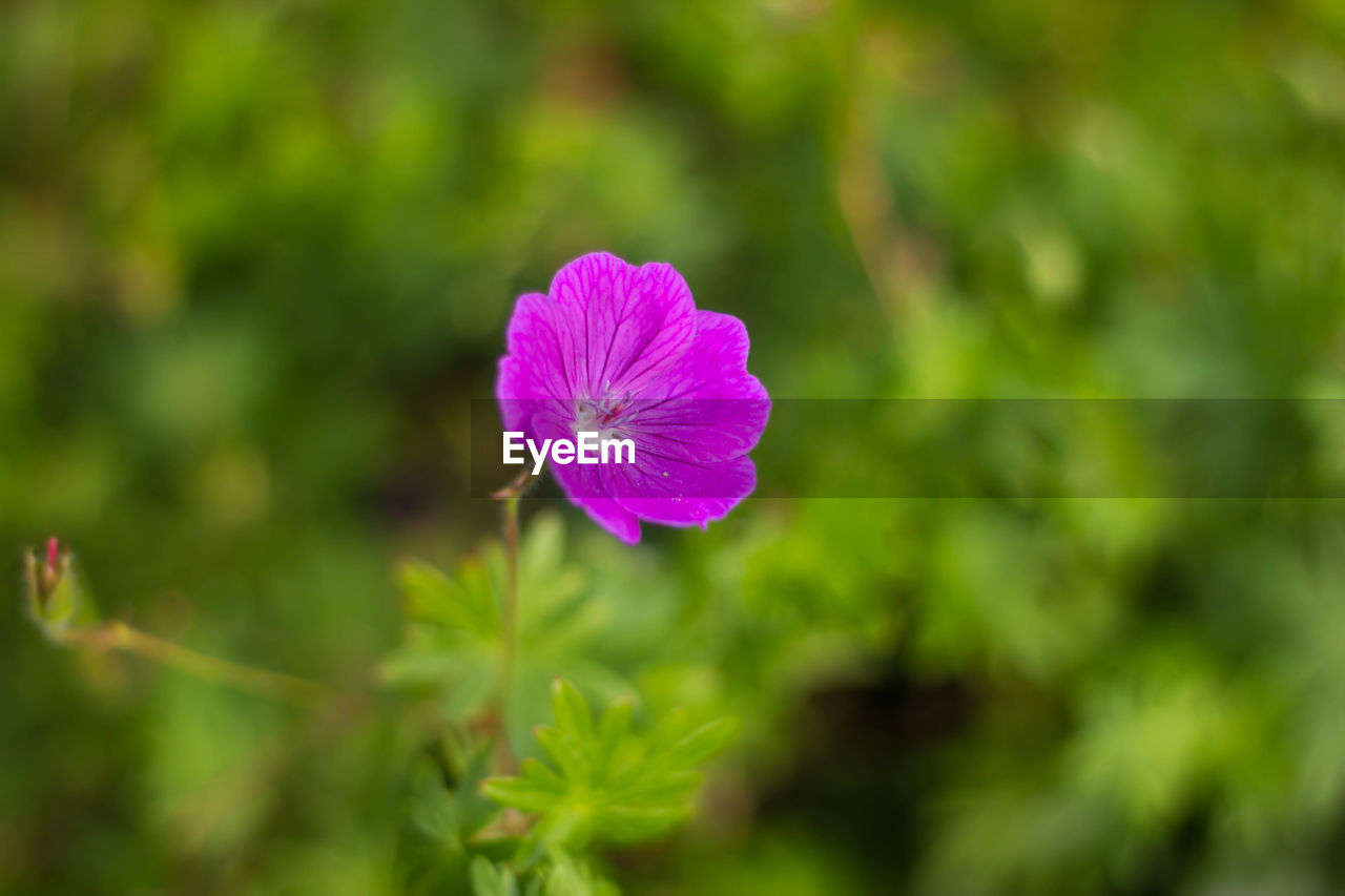 flower, nature, fragility, growth, beauty in nature, plant, petal, flower head, freshness, day, focus on foreground, outdoors, blooming, no people, pink color, green color, close-up, petunia