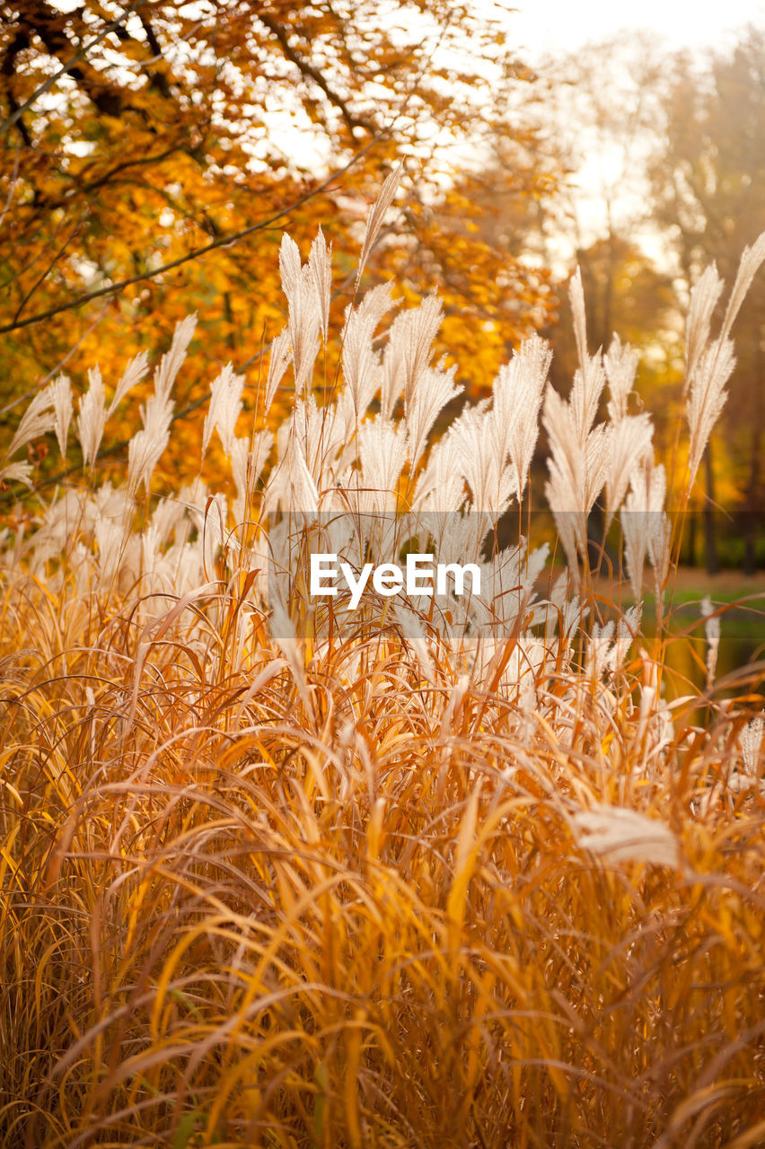 nature, growth, grass, field, plant, beauty in nature, no people, agriculture, outdoors, autumn, close-up, cereal plant, tranquility, rural scene, scenics, day, freshness