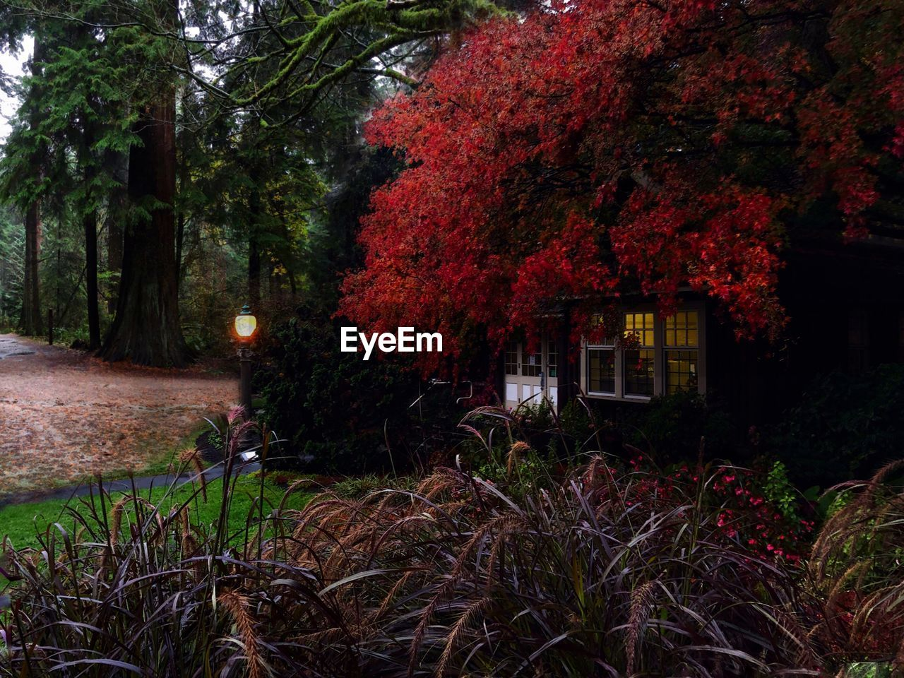 TREES AND RED PLANTS IN YARD DURING AUTUMN