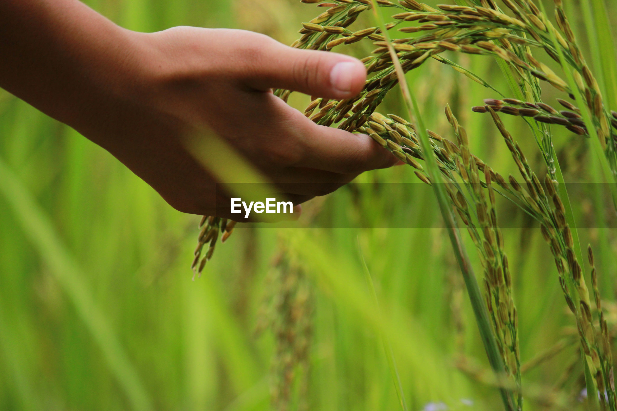 Close-up of hand touching wheat plant at farm
