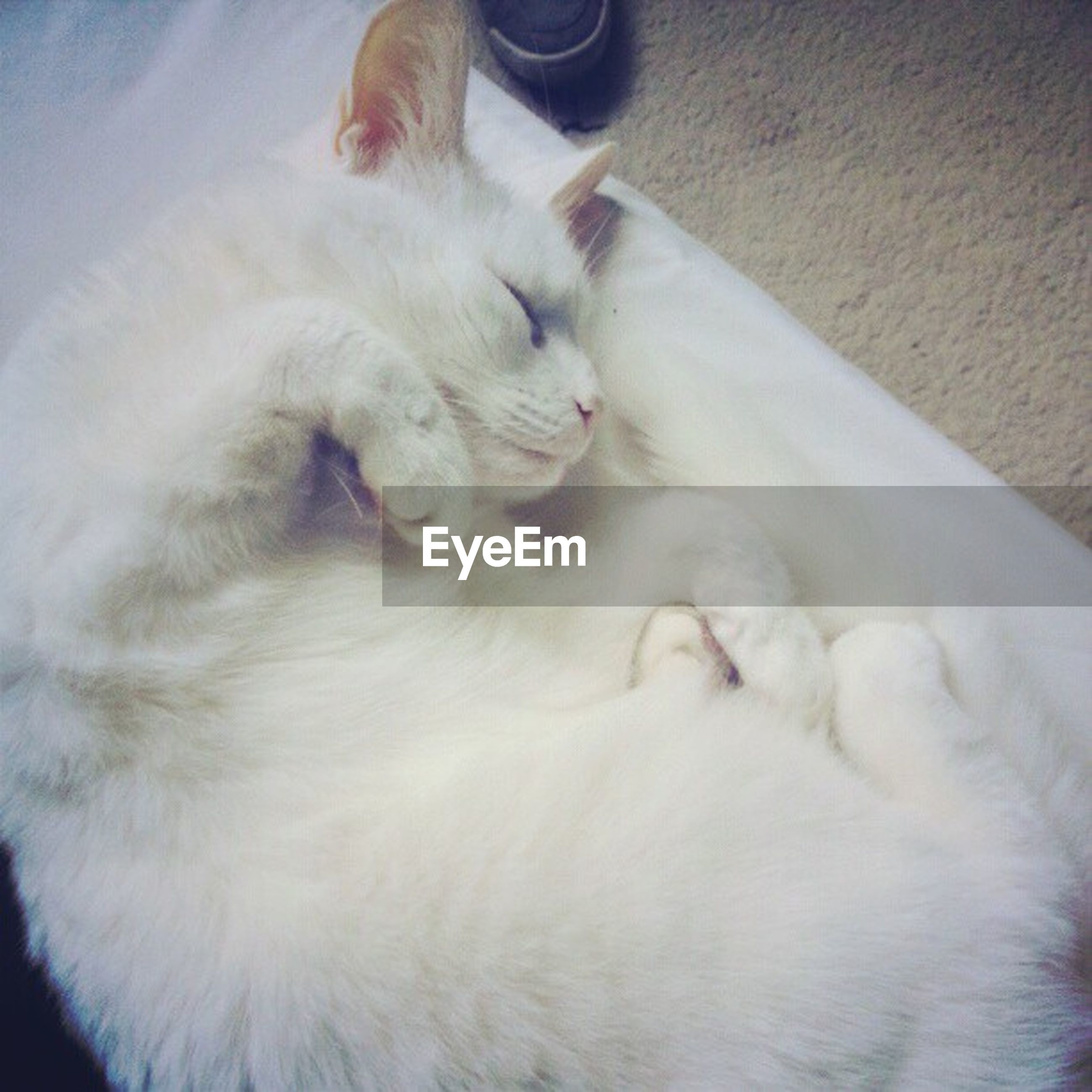 domestic animals, pets, domestic cat, mammal, animal themes, one animal, cat, feline, indoors, relaxation, whisker, sleeping, lying down, resting, white color, close-up, animal head, high angle view, eyes closed, no people