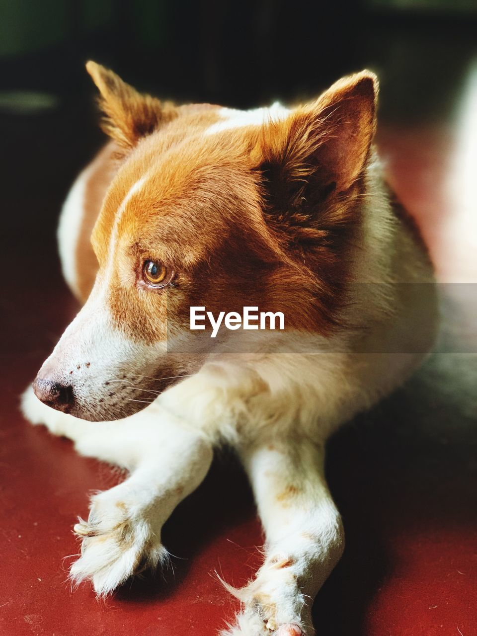 pets, one animal, domestic, domestic animals, animal themes, mammal, animal, vertebrate, looking away, looking, close-up, indoors, no people, canine, dog, focus on foreground, relaxation, animal body part, brown, animal head, whisker