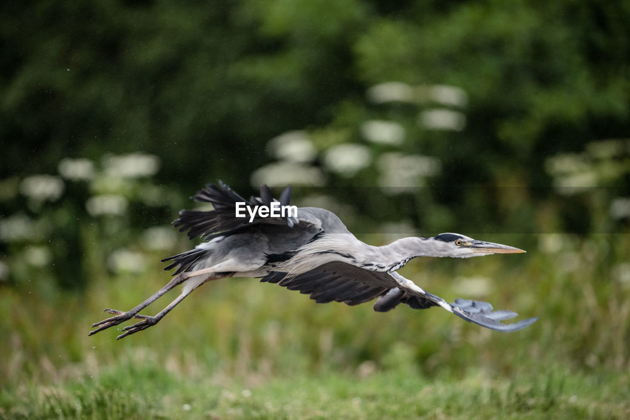 animals in the wild, bird, flying, animal wildlife, animal, spread wings, animal themes, one animal, vertebrate, mid-air, focus on foreground, no people, nature, plant, day, motion, animal wing, heron, beauty in nature, outdoors
