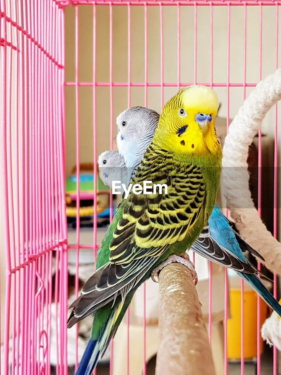 bird, budgerigar, parakeet, parrot, birdcage, perching, cage, indoors, animal themes, animals in captivity, pets, togetherness, multi colored, no people, nature, animals in the wild, domestic animals, day, close-up, mammal