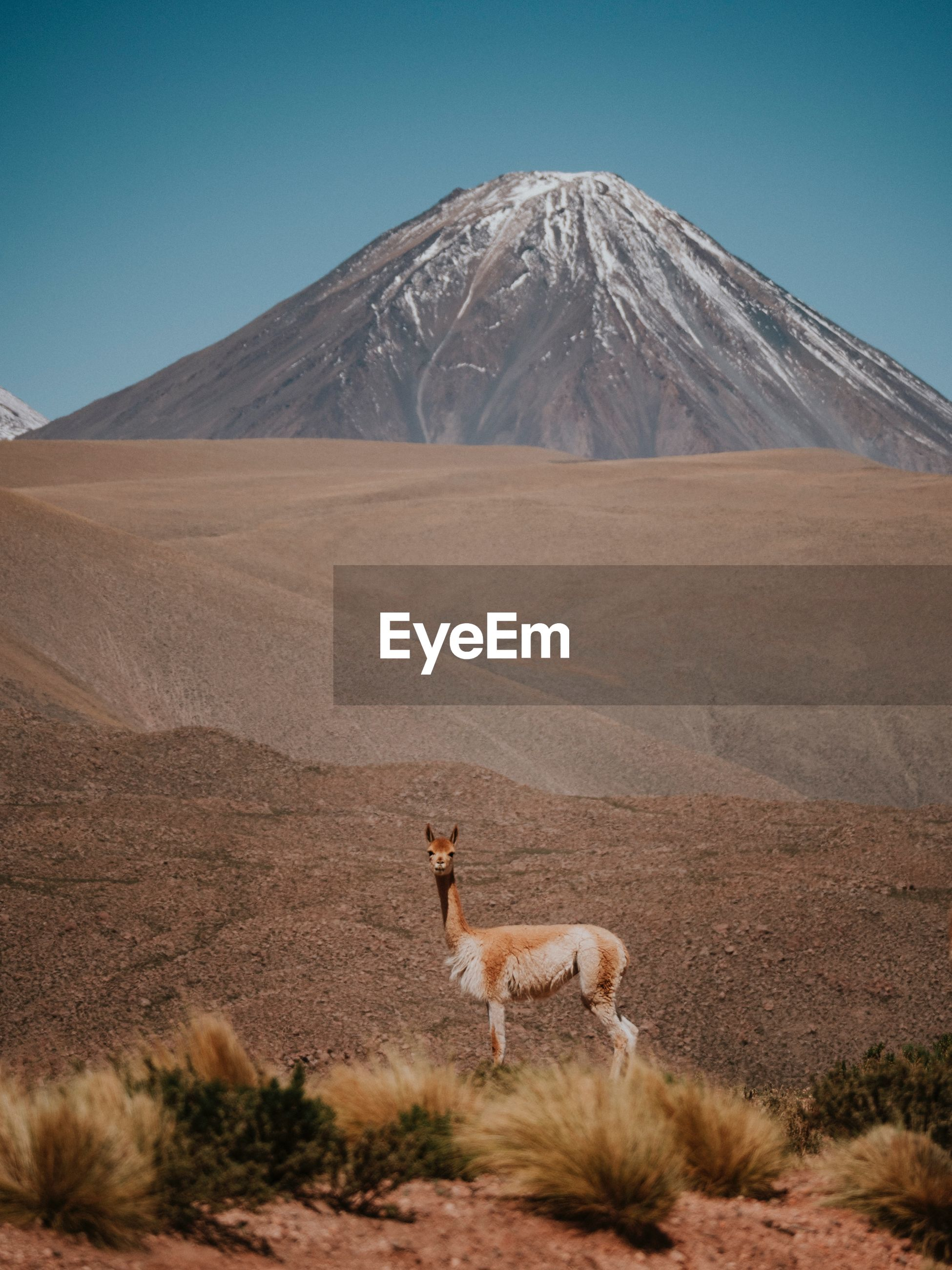 Llama standing on field against mountain during sunny day