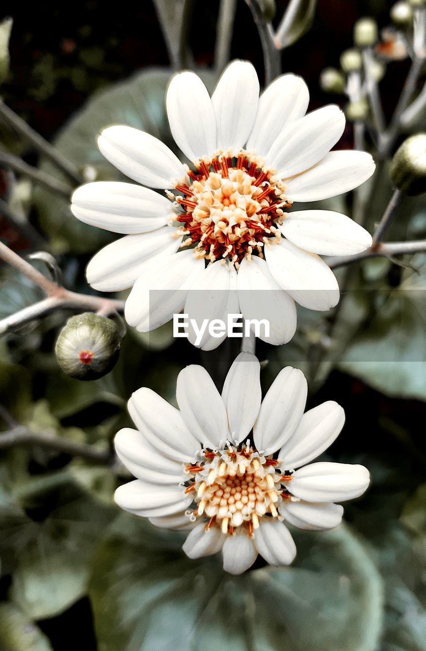 flower, flowering plant, freshness, vulnerability, plant, fragility, petal, growth, flower head, beauty in nature, inflorescence, close-up, white color, nature, day, pollen, focus on foreground, no people, outdoors, white, gazania