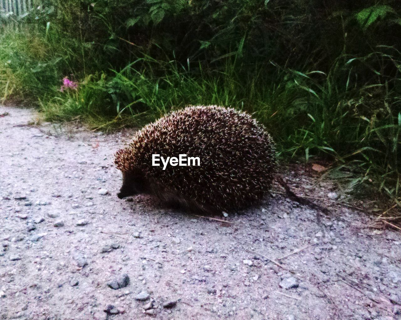 animal, plant, hedgehog, animal themes, no people, one animal, nature, animal wildlife, animals in the wild, land, close-up, field, grass, mammal, day, outdoors, food, high angle view, freshness, rock