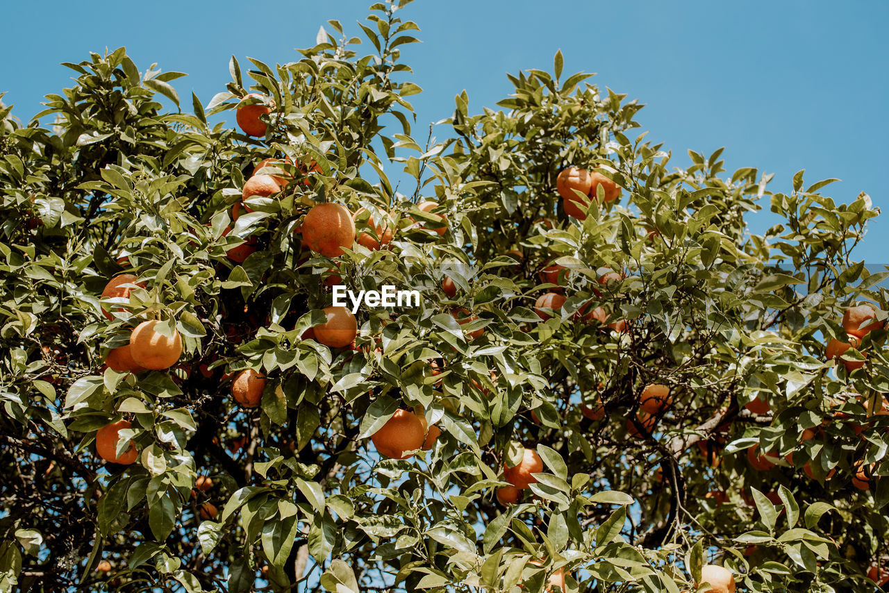growth, fruit, food and drink, food, plant, tree, healthy eating, nature, freshness, fruit tree, low angle view, sky, leaf, day, plant part, branch, wellbeing, no people, green color, outdoors, ripe, orange