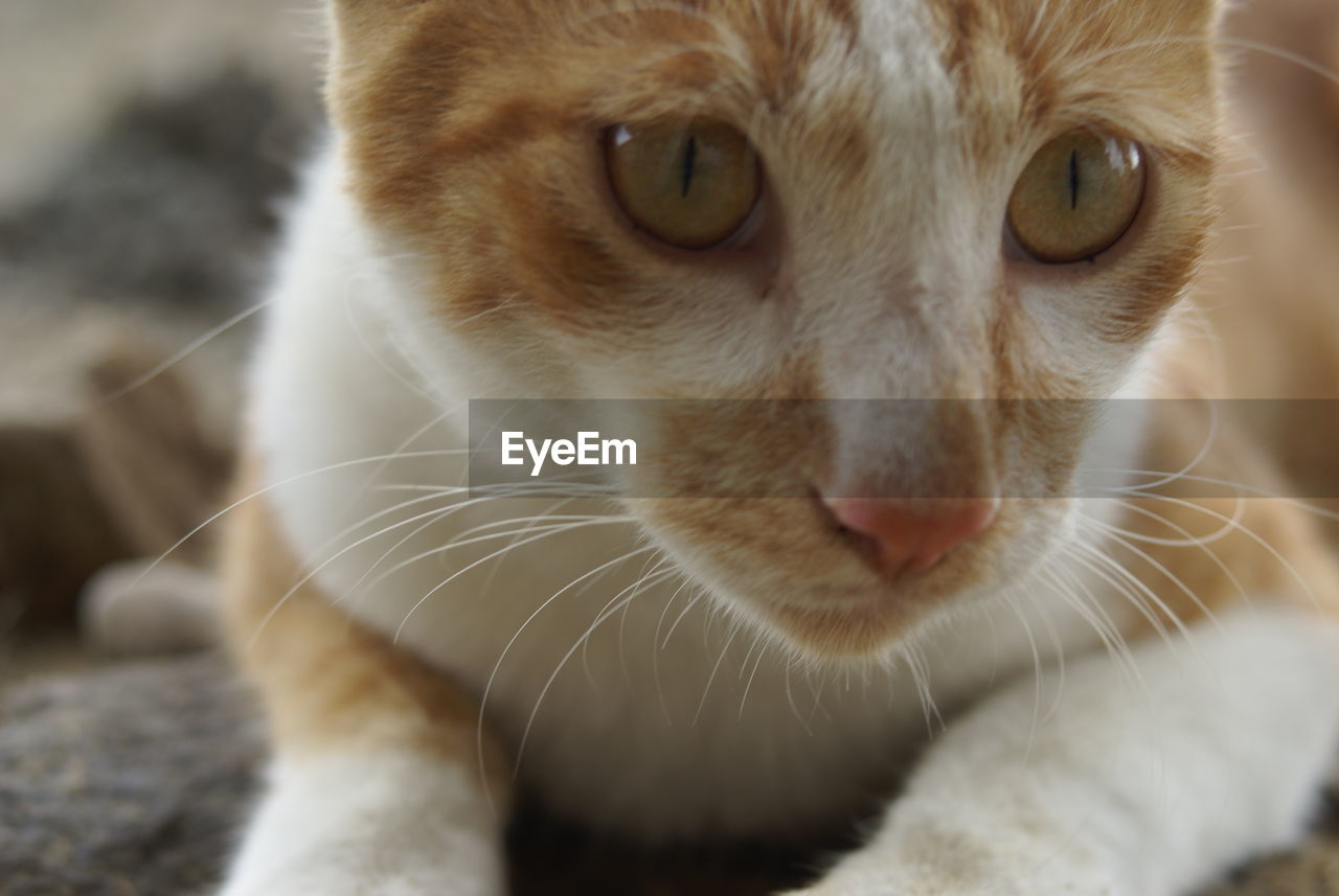 domestic cat, one animal, animal themes, feline, mammal, pets, domestic animals, whisker, cat, close-up, animal head, no people, portrait, looking at camera, focus on foreground, ginger cat, indoors, day, siamese cat
