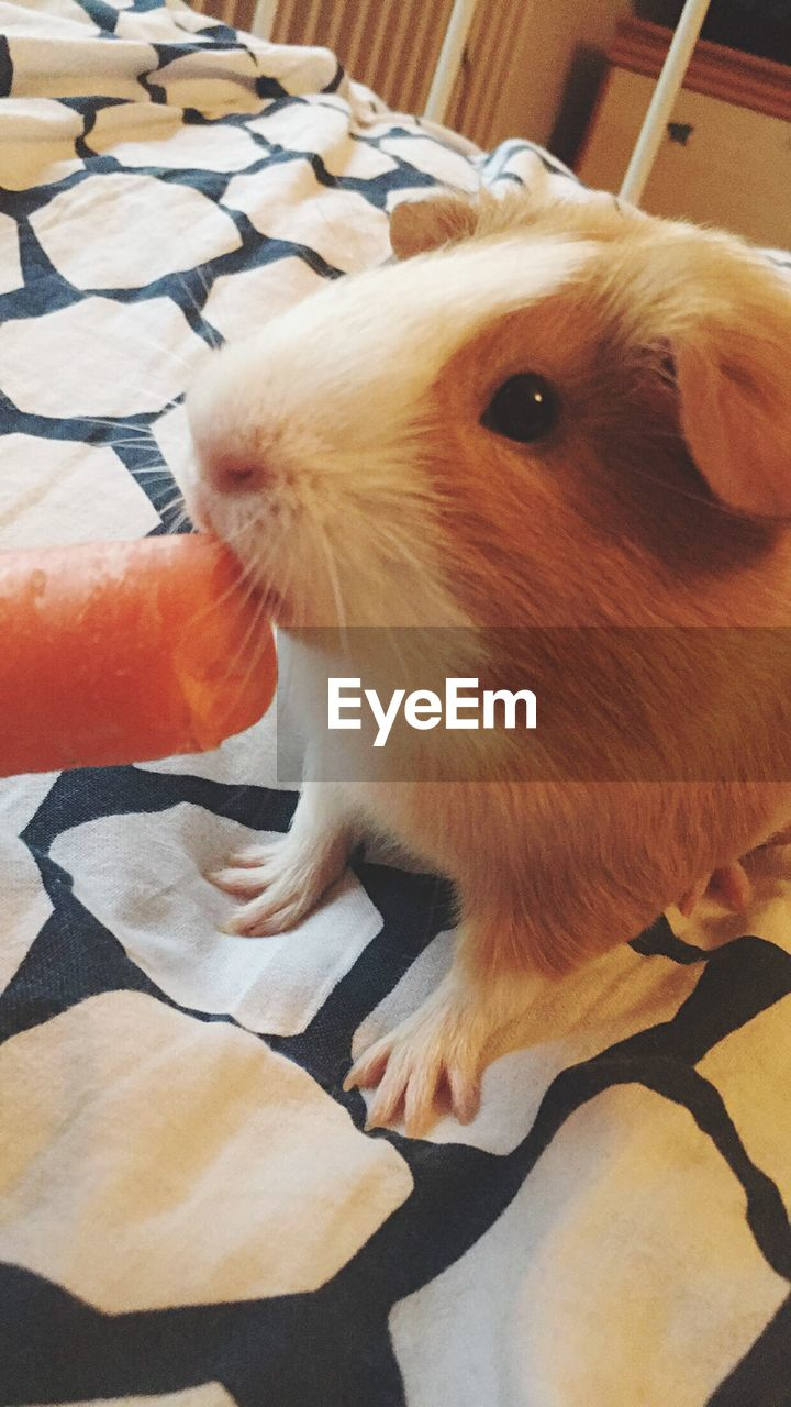 one animal, mammal, domestic, pets, domestic animals, vertebrate, indoors, close-up, one person, real people, looking, high angle view, day, home interior, animal body part, whisker