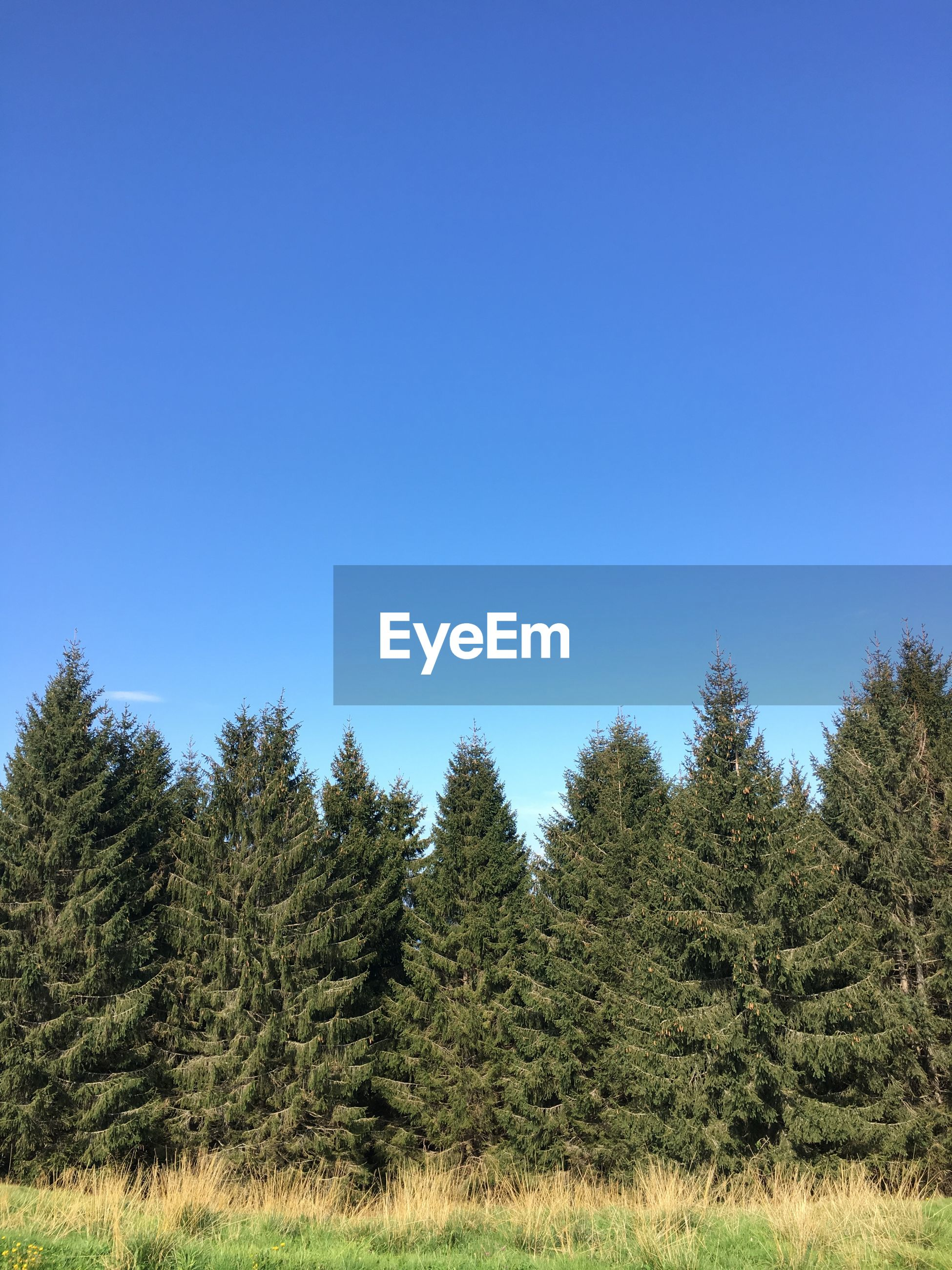 Pine trees in forest against clear blue sky