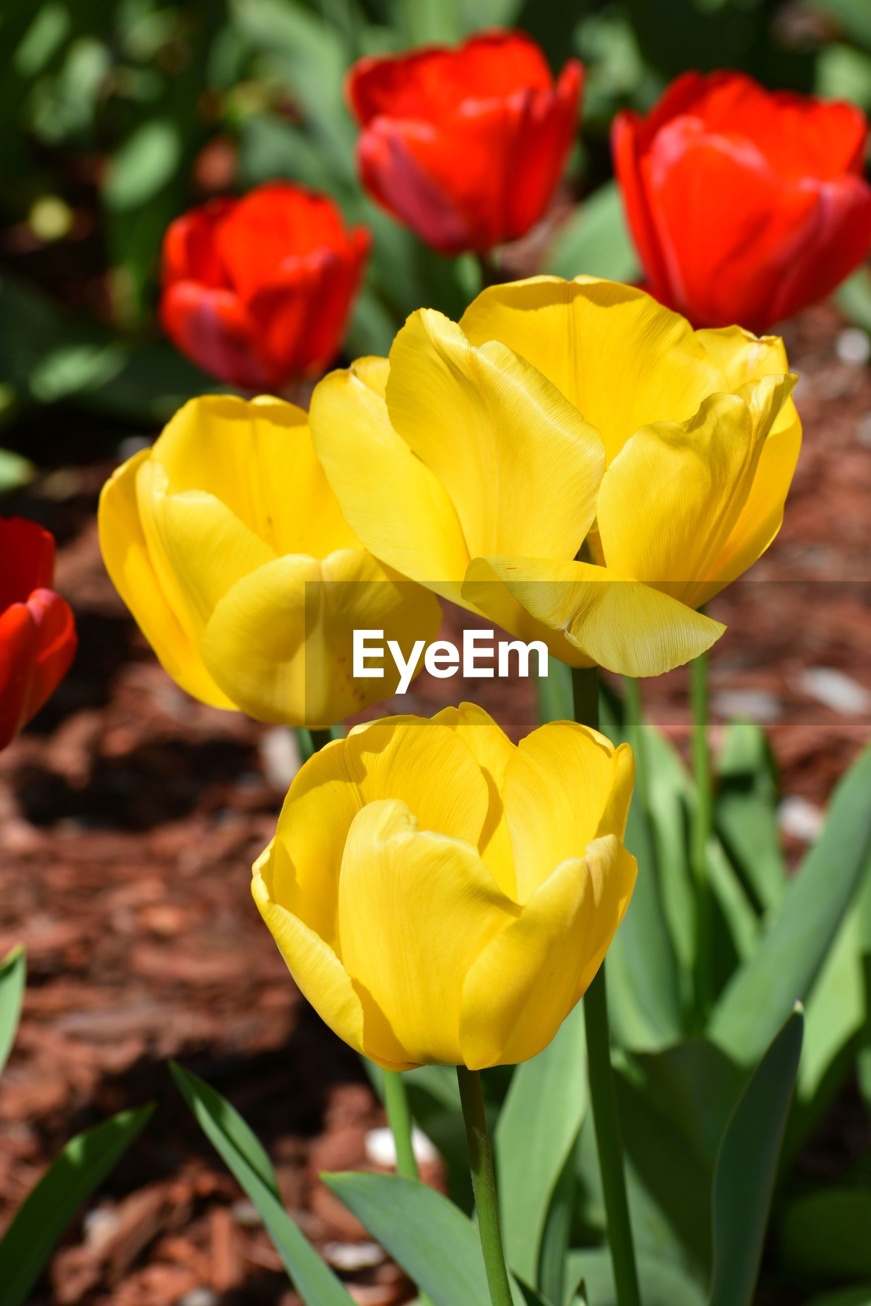 CLOSE-UP OF YELLOW TULIPS IN BLOOM