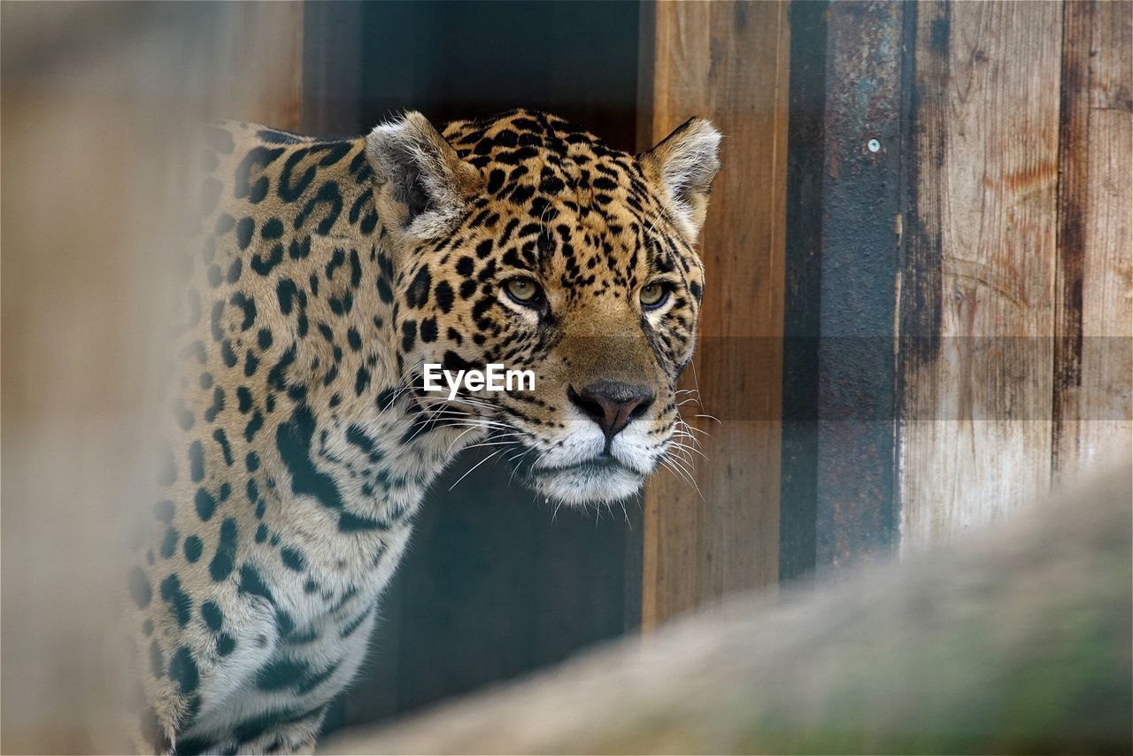 Jaguar Looking Away In Zoo