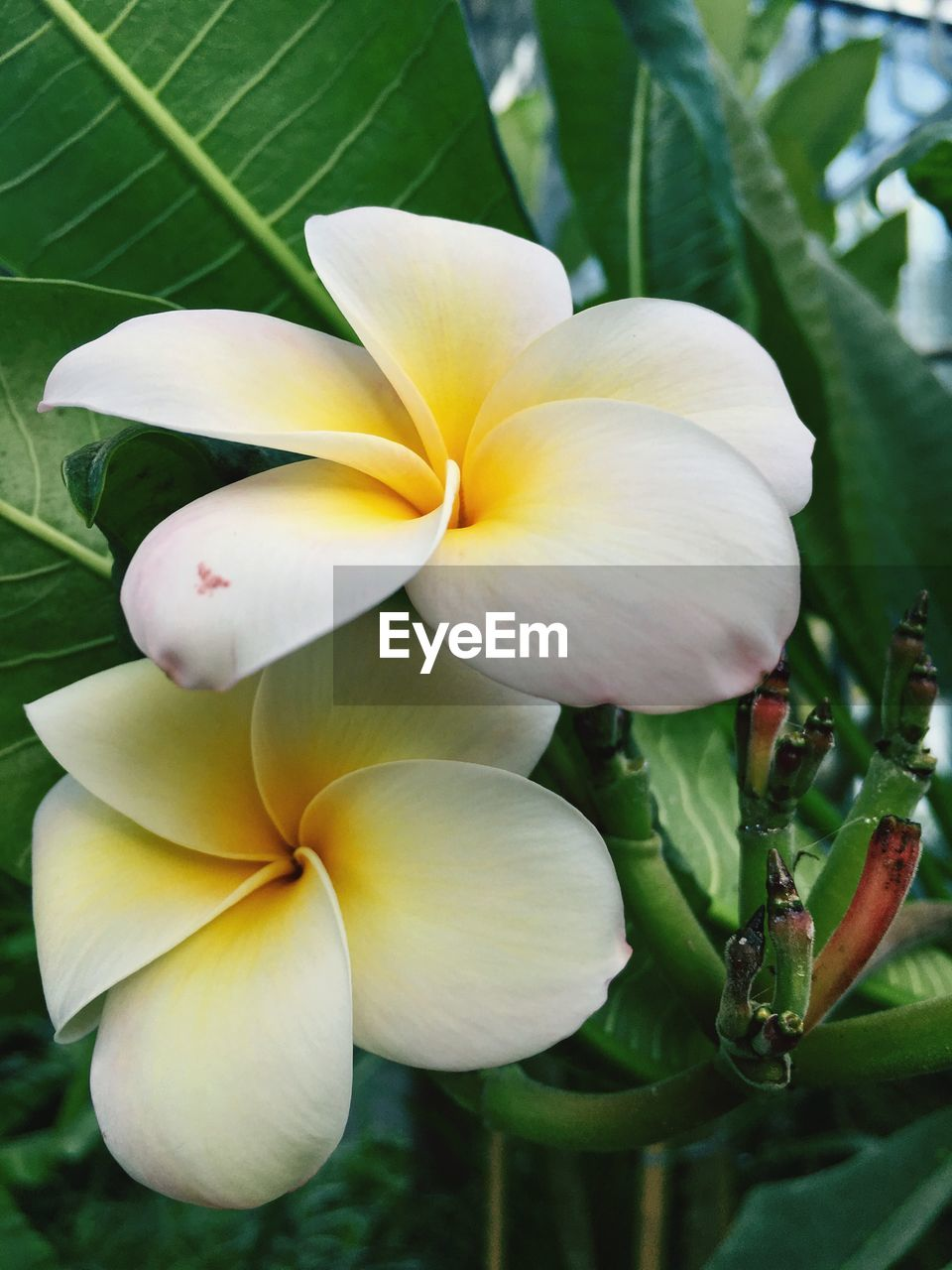 flower, petal, fragility, growth, beauty in nature, flower head, freshness, plant, nature, blooming, no people, leaf, close-up, outdoors, day, frangipani