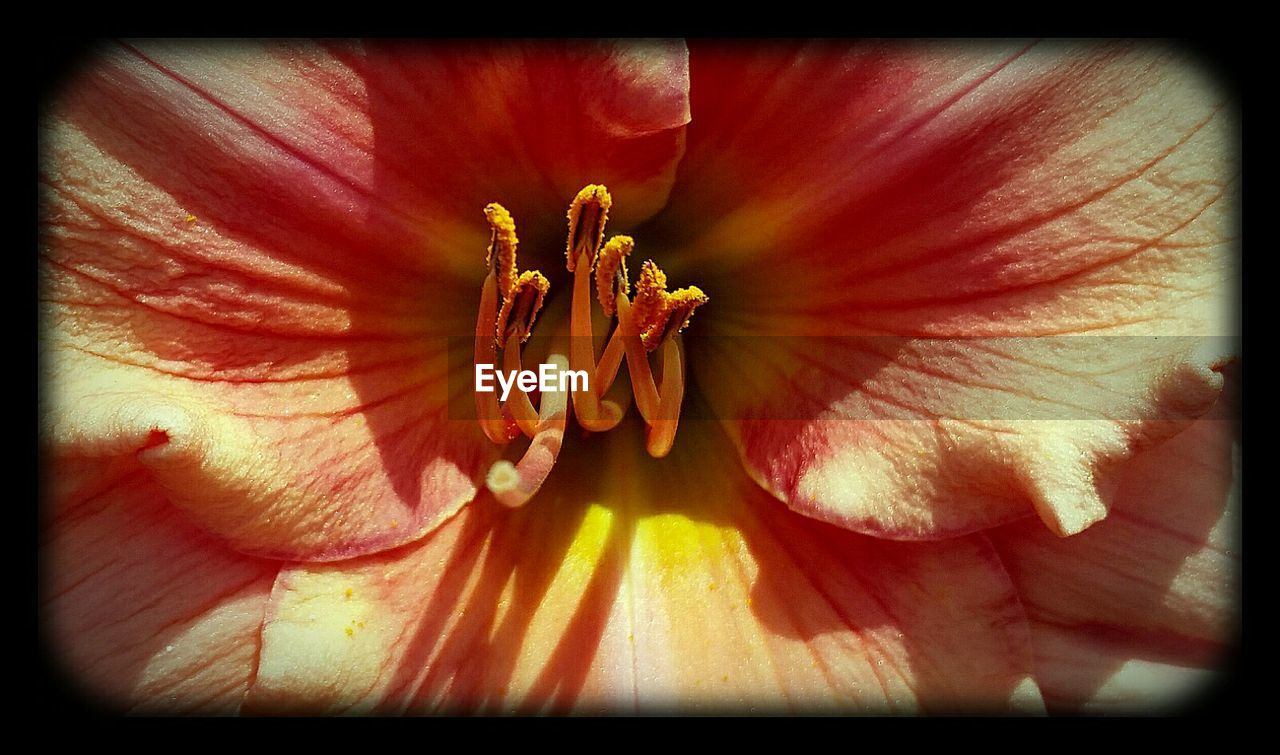 flower, petal, flower head, nature, beauty in nature, fragility, full frame, freshness, growth, backgrounds, blossom, no people, stamen, plant, outdoors, blooming, close-up, hibiscus, day lily, day