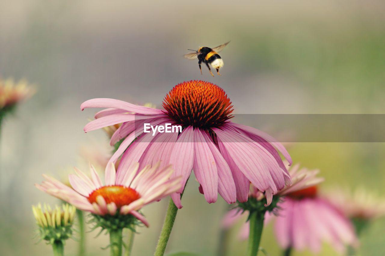 Bee Hovering Over Eastern Purple Coneflower