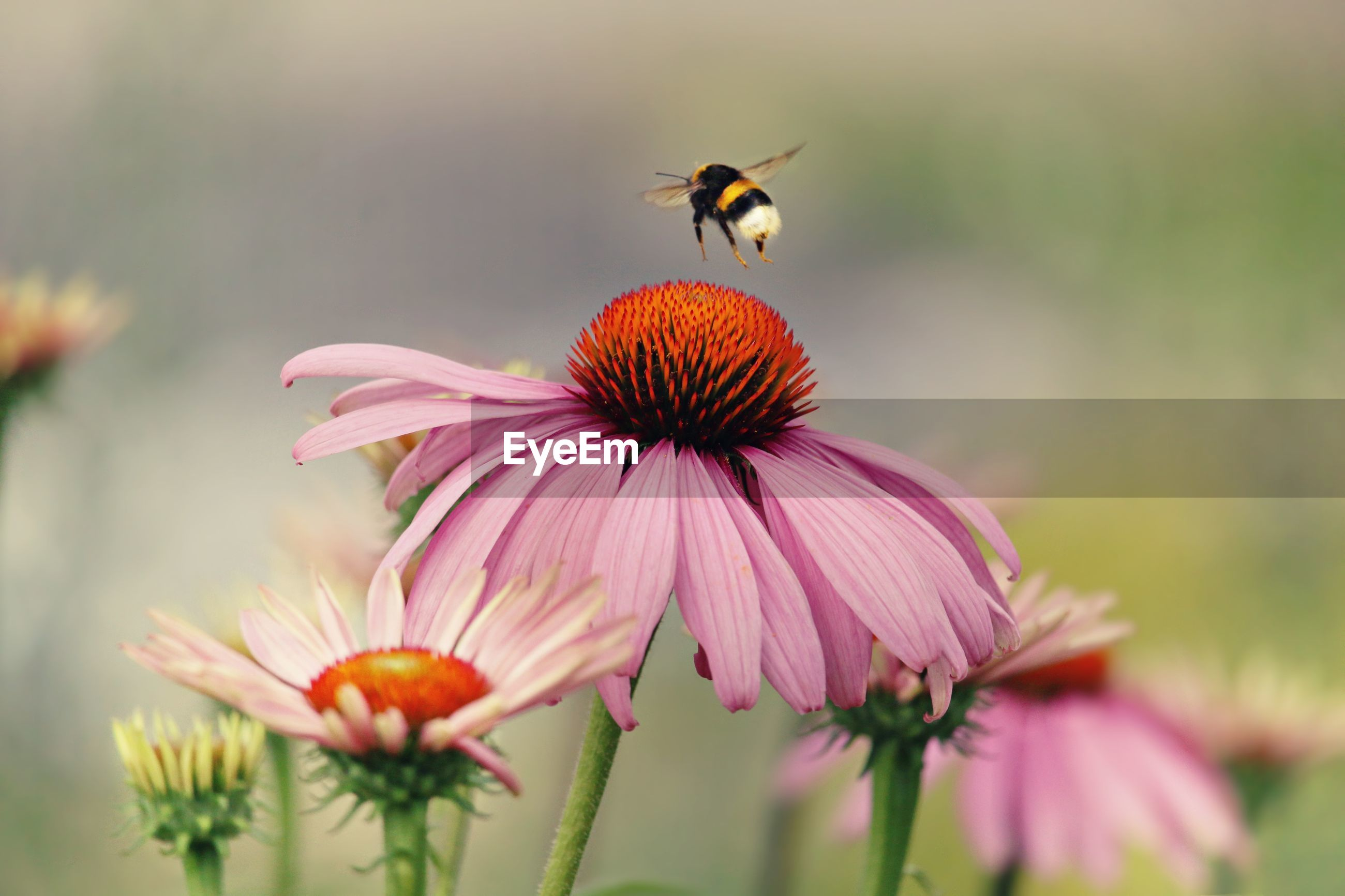 Bee hovering over eastern purple coneflower