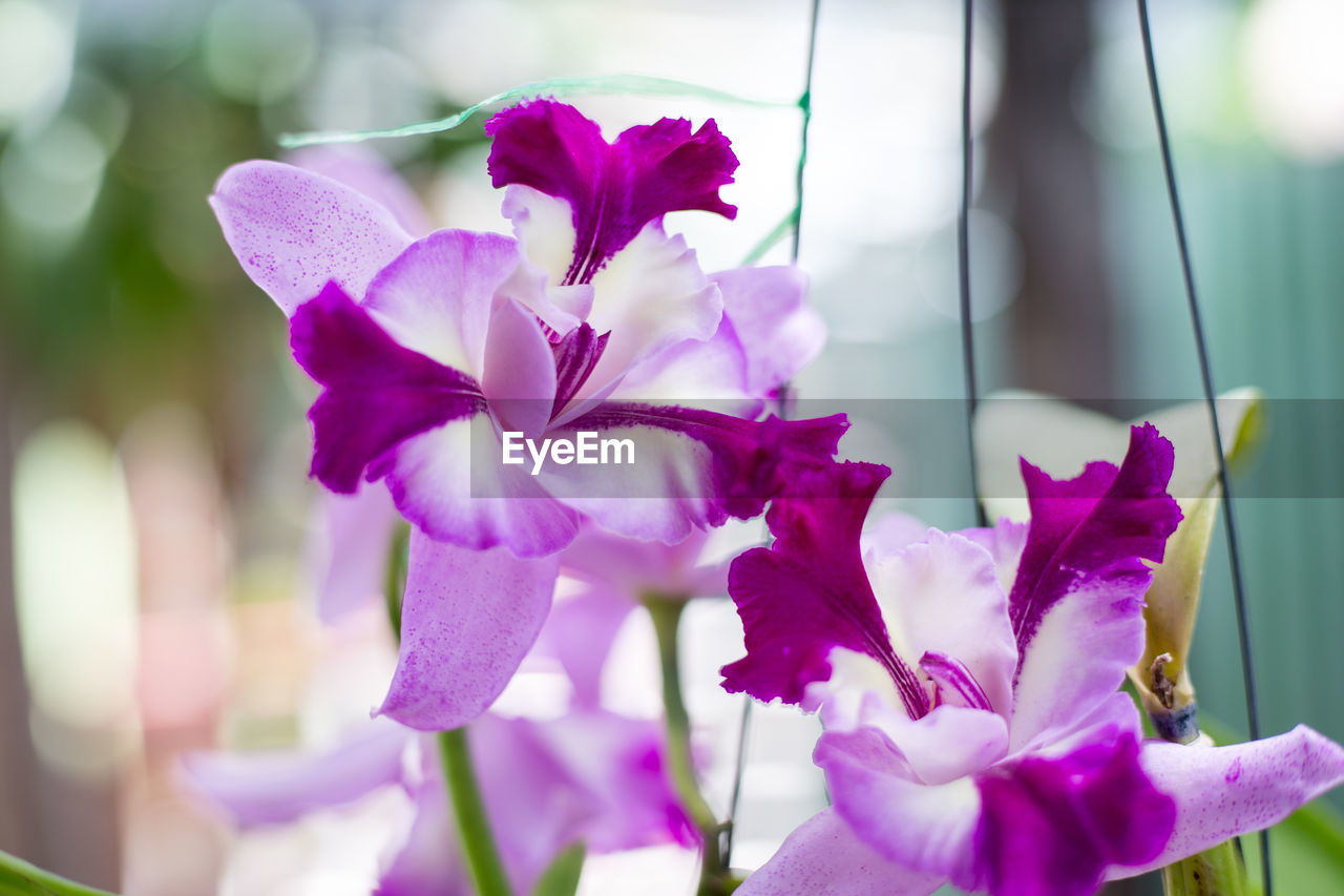 flowering plant, flower, vulnerability, beauty in nature, fragility, petal, freshness, plant, close-up, growth, flower head, focus on foreground, purple, pink color, inflorescence, nature, day, no people, outdoors, bougainvillea