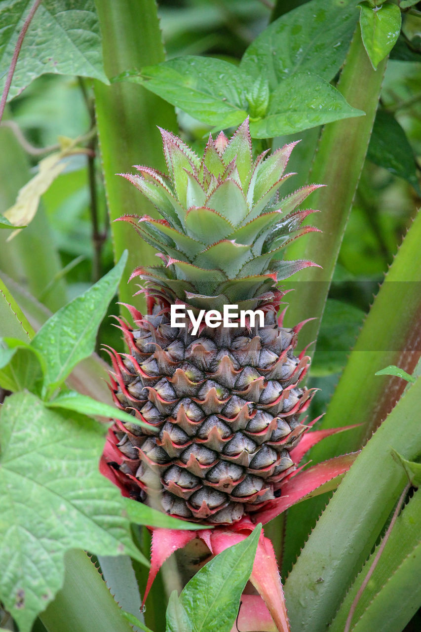growth, leaf, plant part, green color, pineapple, plant, fruit, healthy eating, freshness, food and drink, close-up, nature, tropical fruit, beauty in nature, food, no people, day, field, red, outdoors, plantation, ripe, spiky
