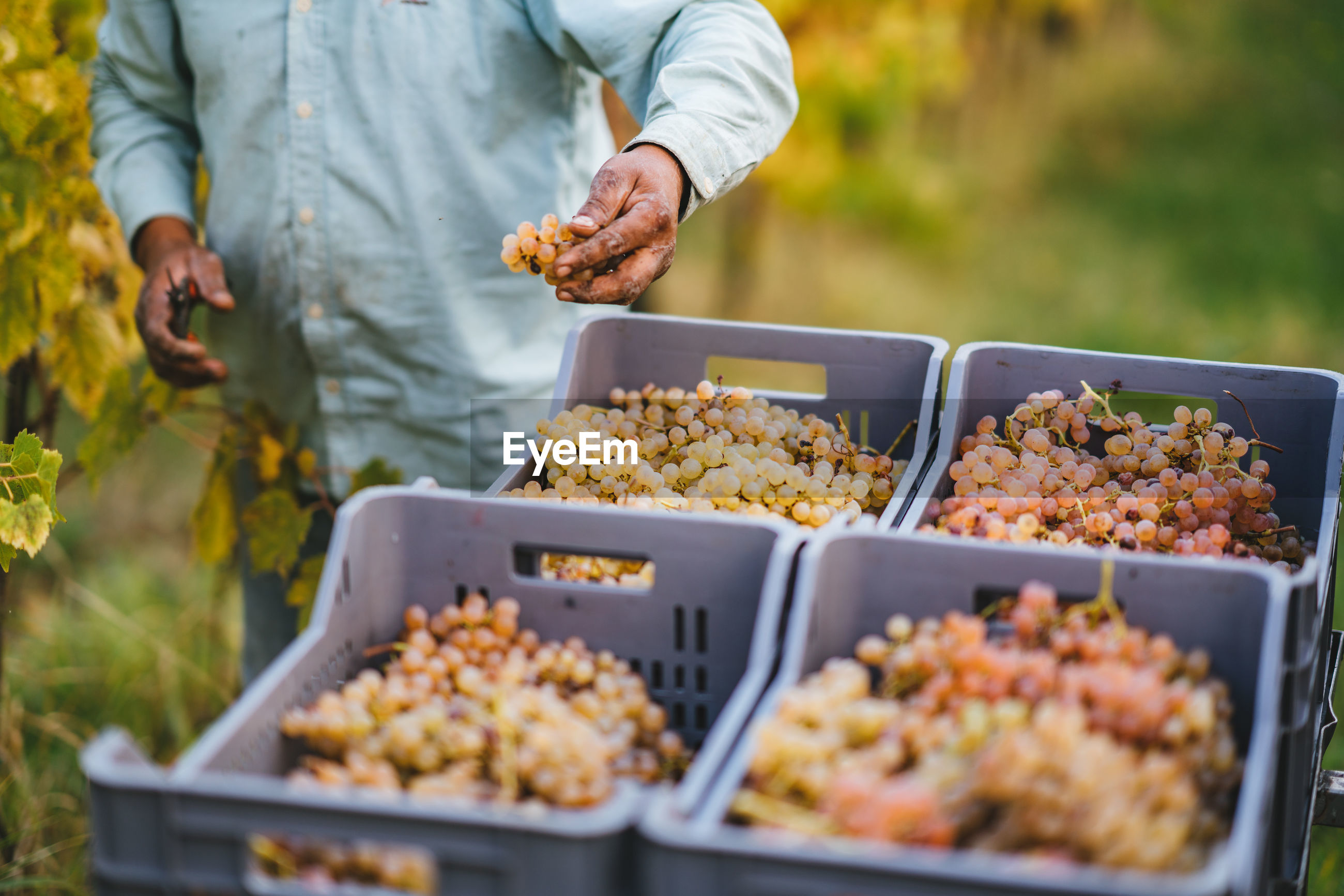 Midsection of male farmer harvesting grapes at vineyard