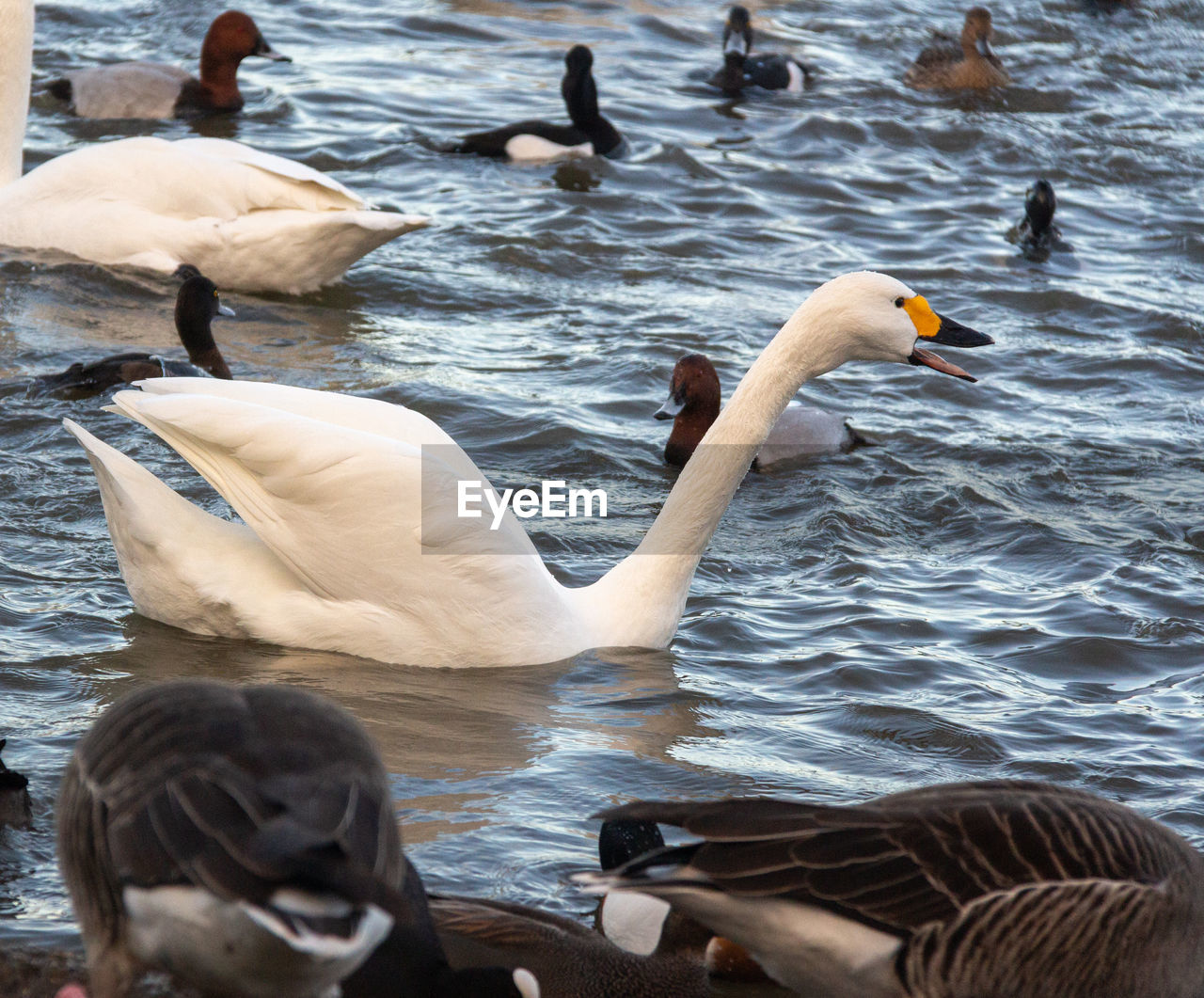 water, bird, animals in the wild, group of animals, animal wildlife, animal themes, animal, vertebrate, swimming, lake, swan, nature, no people, day, water bird, rippled, large group of animals, outdoors, beauty in nature, floating on water, flock of birds