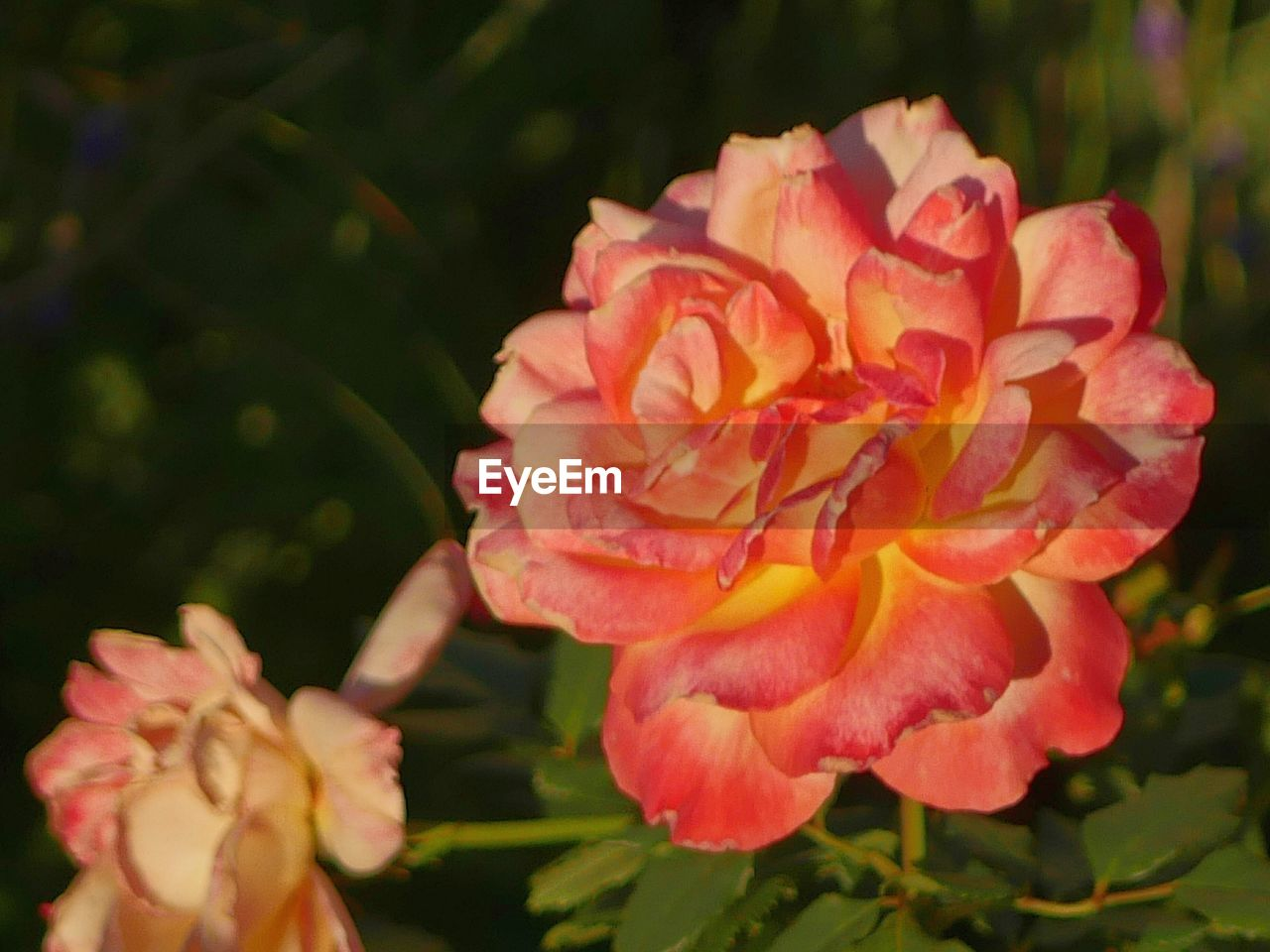 flower, flowering plant, plant, petal, beauty in nature, vulnerability, growth, freshness, fragility, close-up, inflorescence, flower head, nature, no people, focus on foreground, day, outdoors, sunlight, rose, pink color