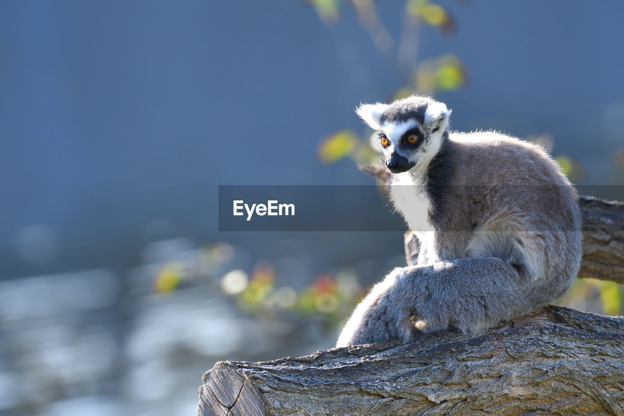 animal wildlife, focus on foreground, animals in the wild, one animal, no people, mammal, day, vertebrate, nature, portrait, looking at camera, lemur, close-up, sitting, primate, looking, outdoors