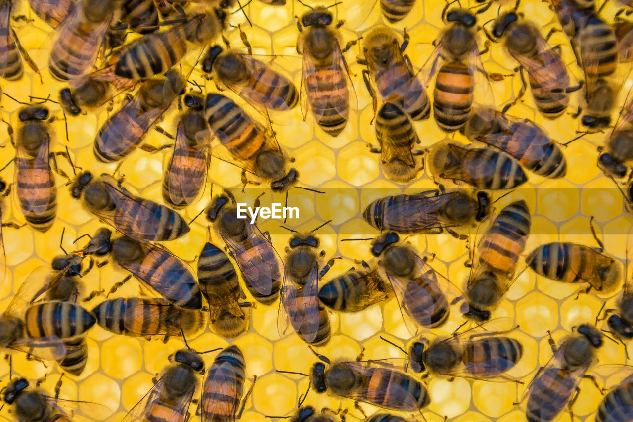 animal themes, animal, group of animals, animal wildlife, animals in the wild, large group of animals, yellow, insect, invertebrate, bee, honey bee, close-up, vertebrate, apiculture, no people, nature, zoology, beauty in nature, honeycomb, togetherness, marine
