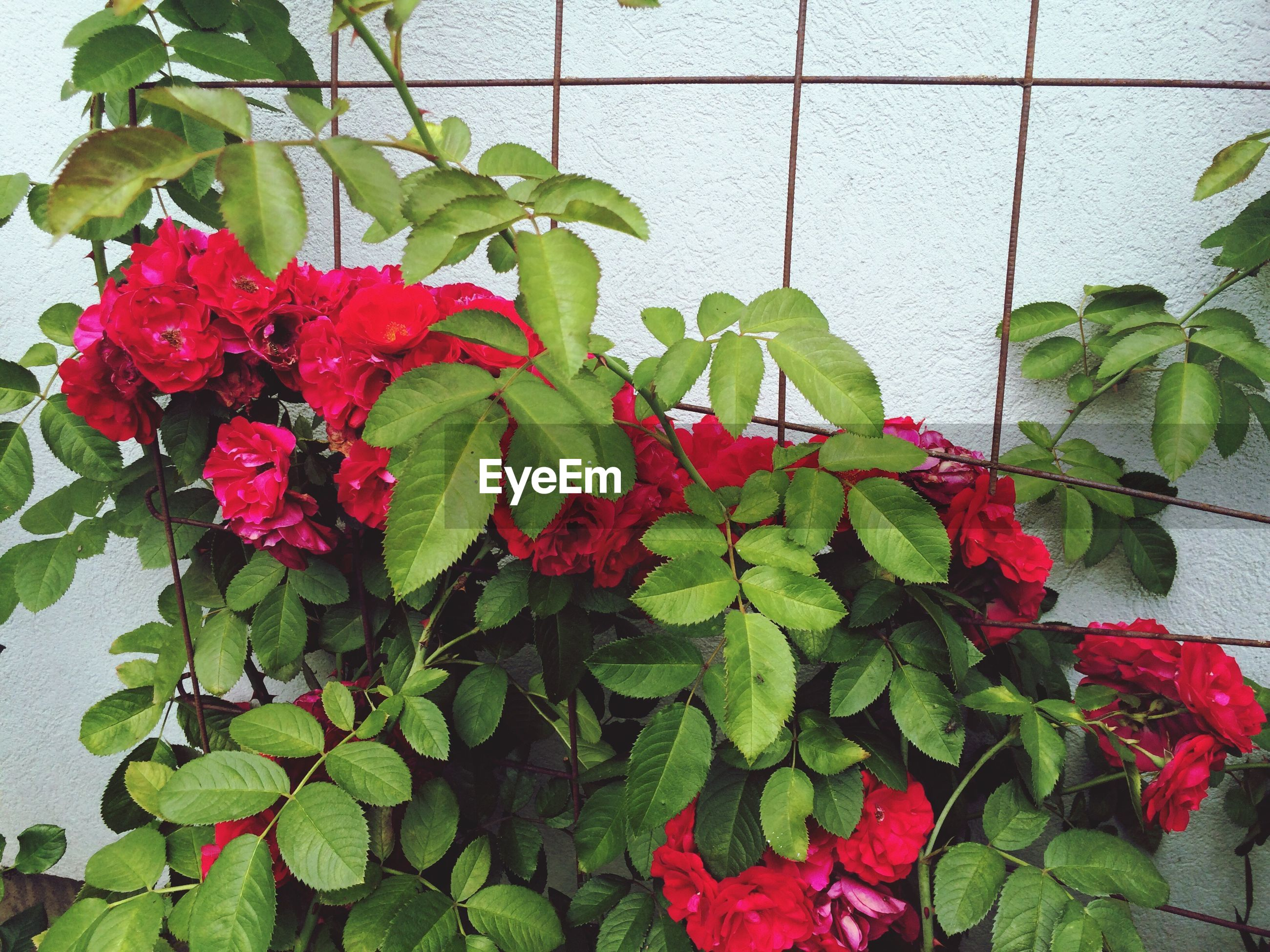 High angle view of red roses growing by wall