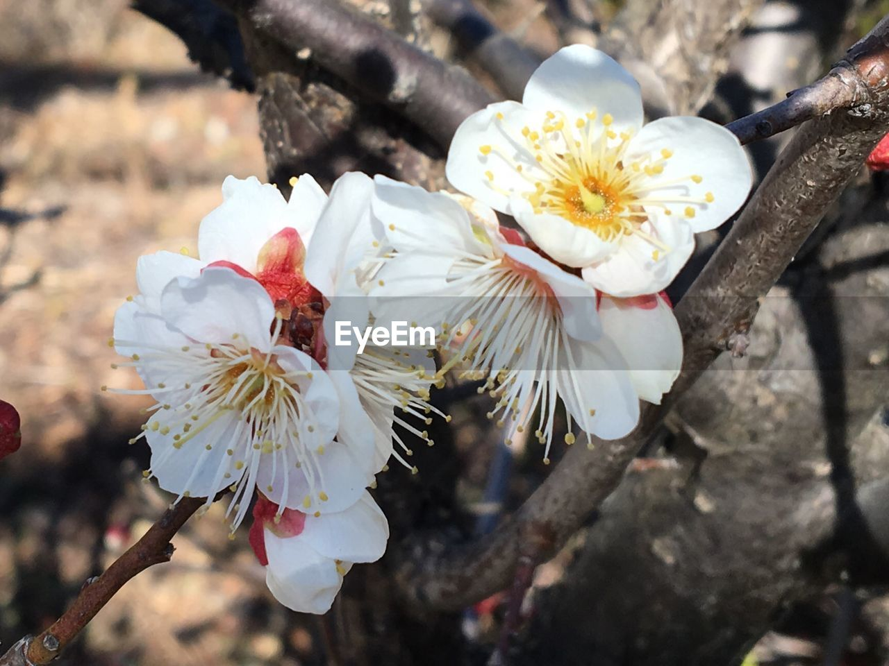 flower, petal, fragility, white color, beauty in nature, nature, flower head, growth, blossom, freshness, botany, close-up, springtime, no people, tree, blooming, stamen, pollen, day, branch, outdoors, plum blossom