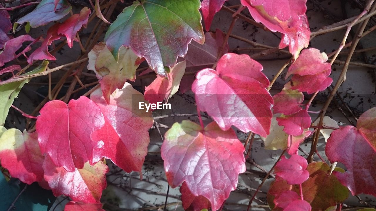 leaf, day, nature, pink color, growth, change, outdoors, fragility, no people, beauty in nature, plant, close-up, autumn, flower, freshness